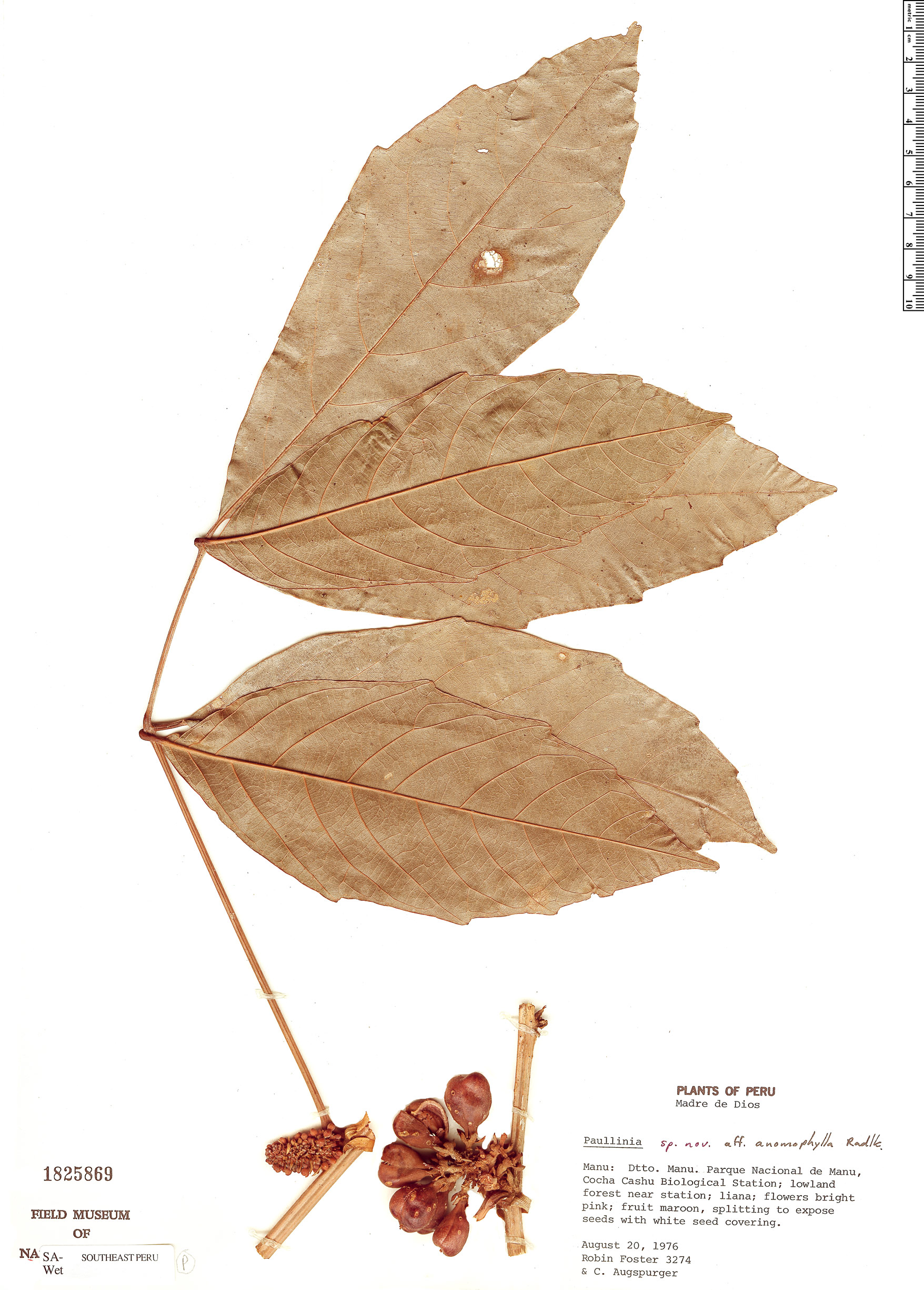 Specimen: Paullinia anomophylla