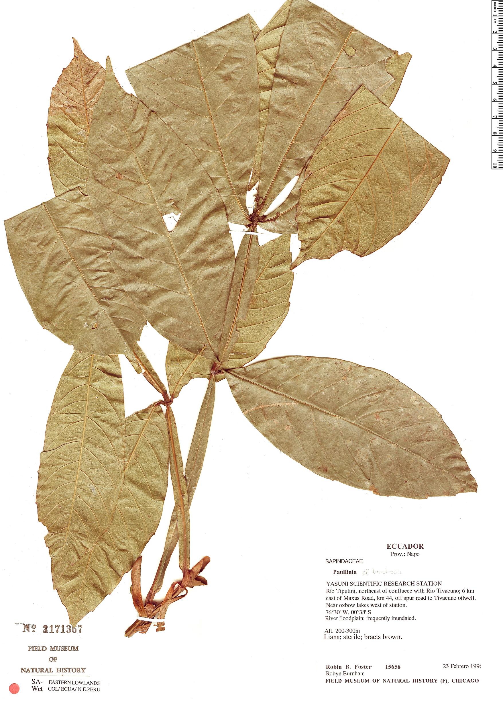 Specimen: Paullinia bracteosa