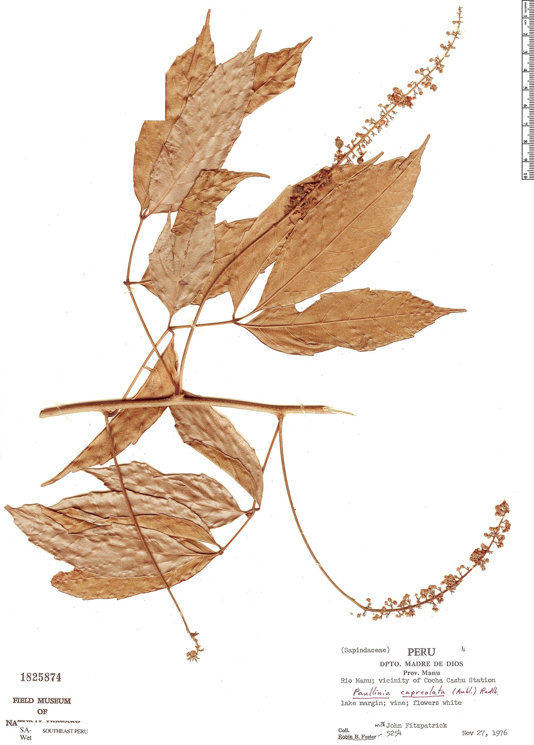 Specimen: Paullinia capreolata