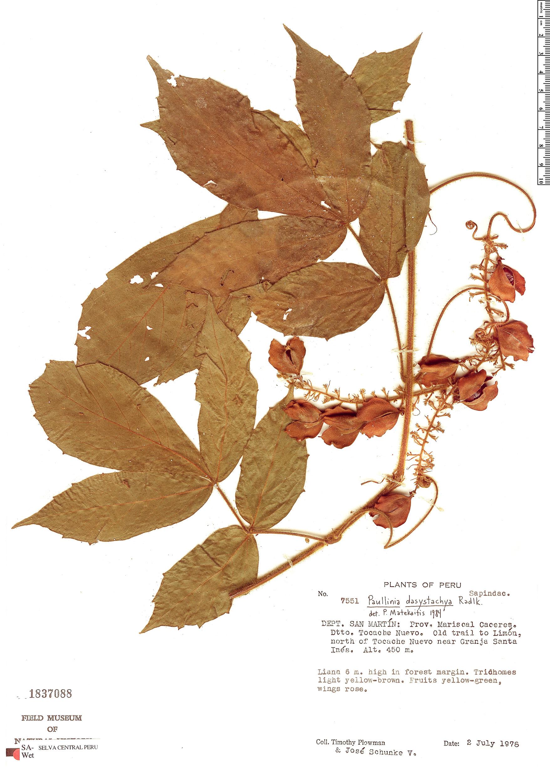 Espécimen: Paullinia dasystachya
