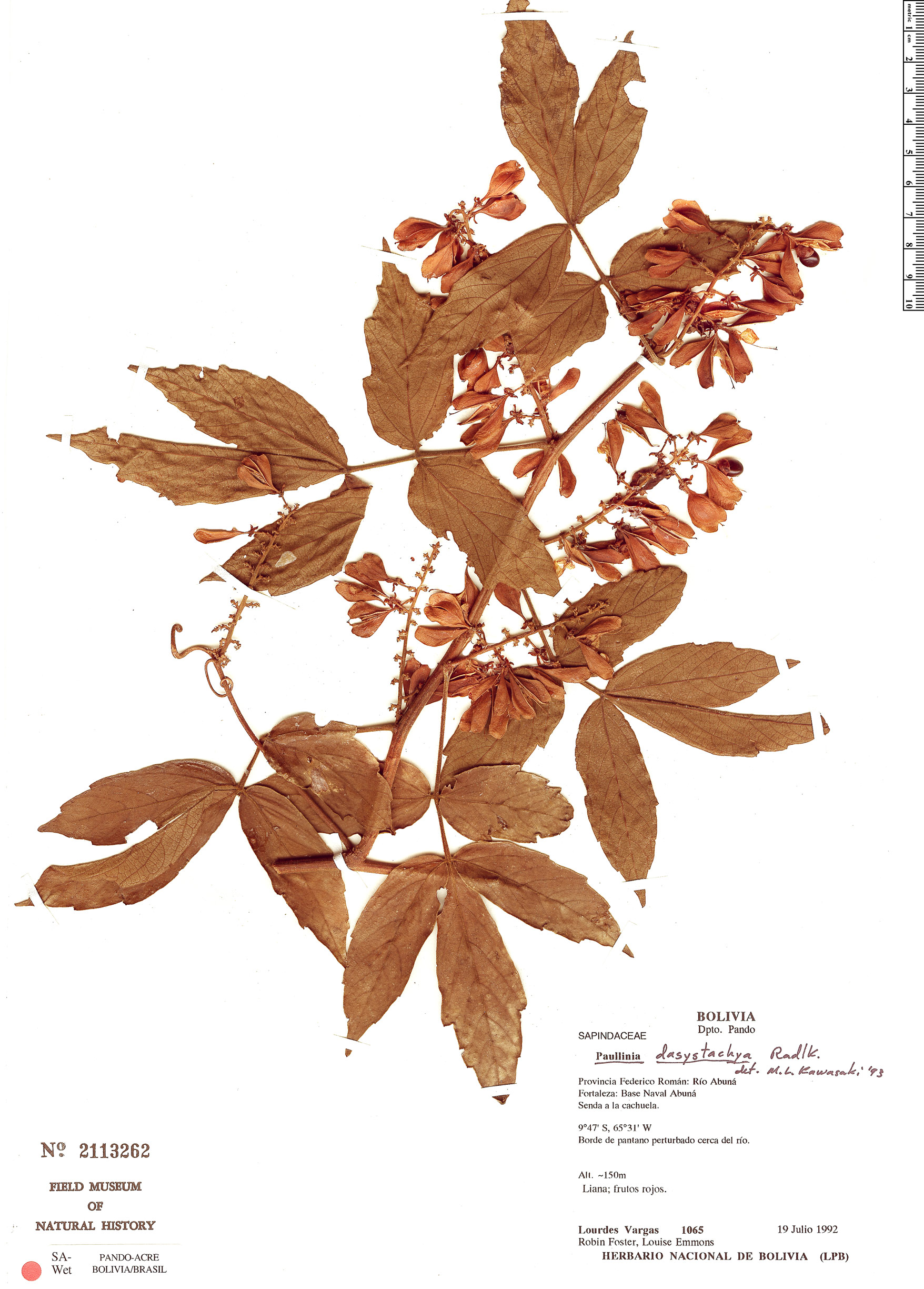 Specimen: Paullinia dasystachya