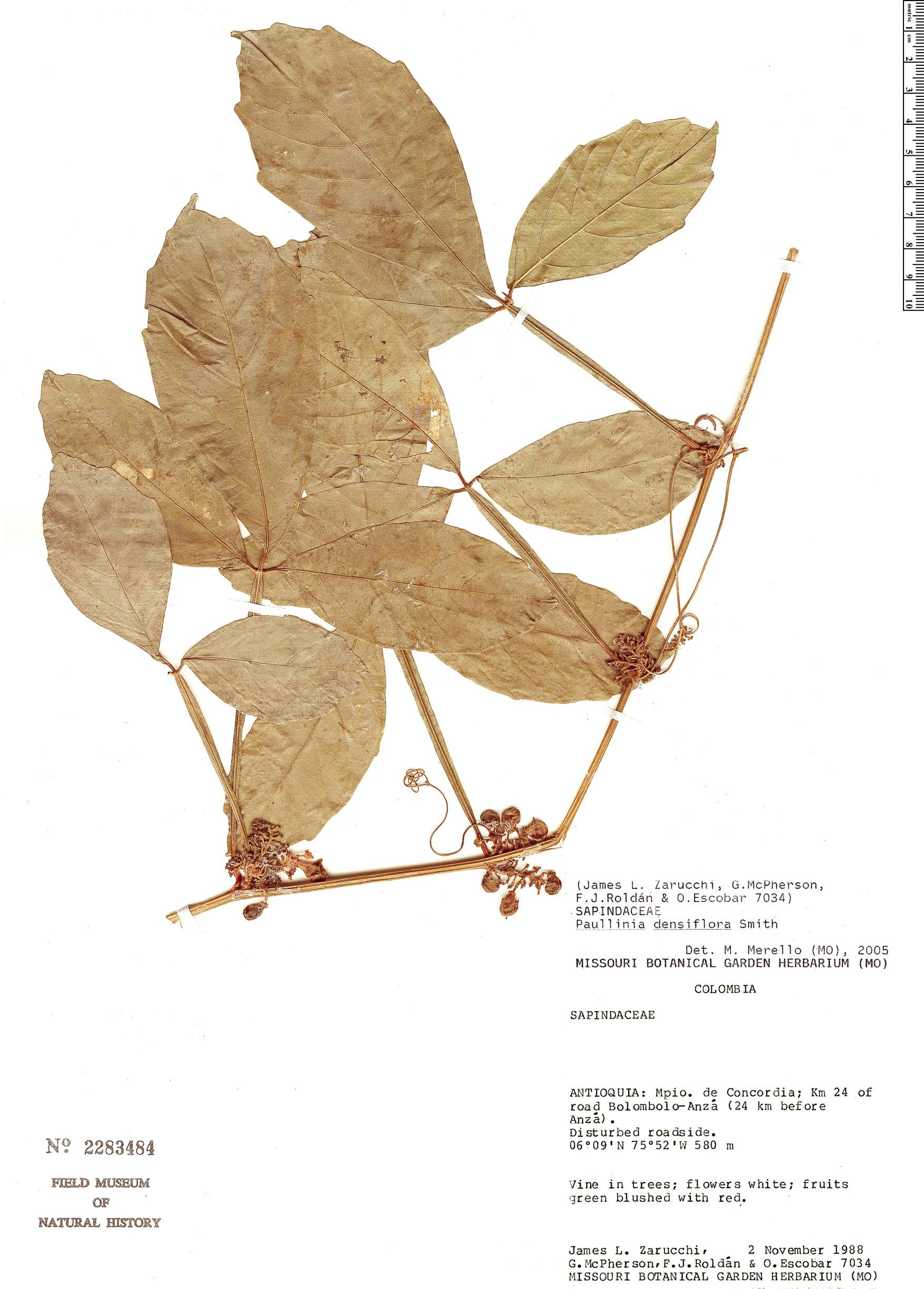 Specimen: Paullinia densiflora