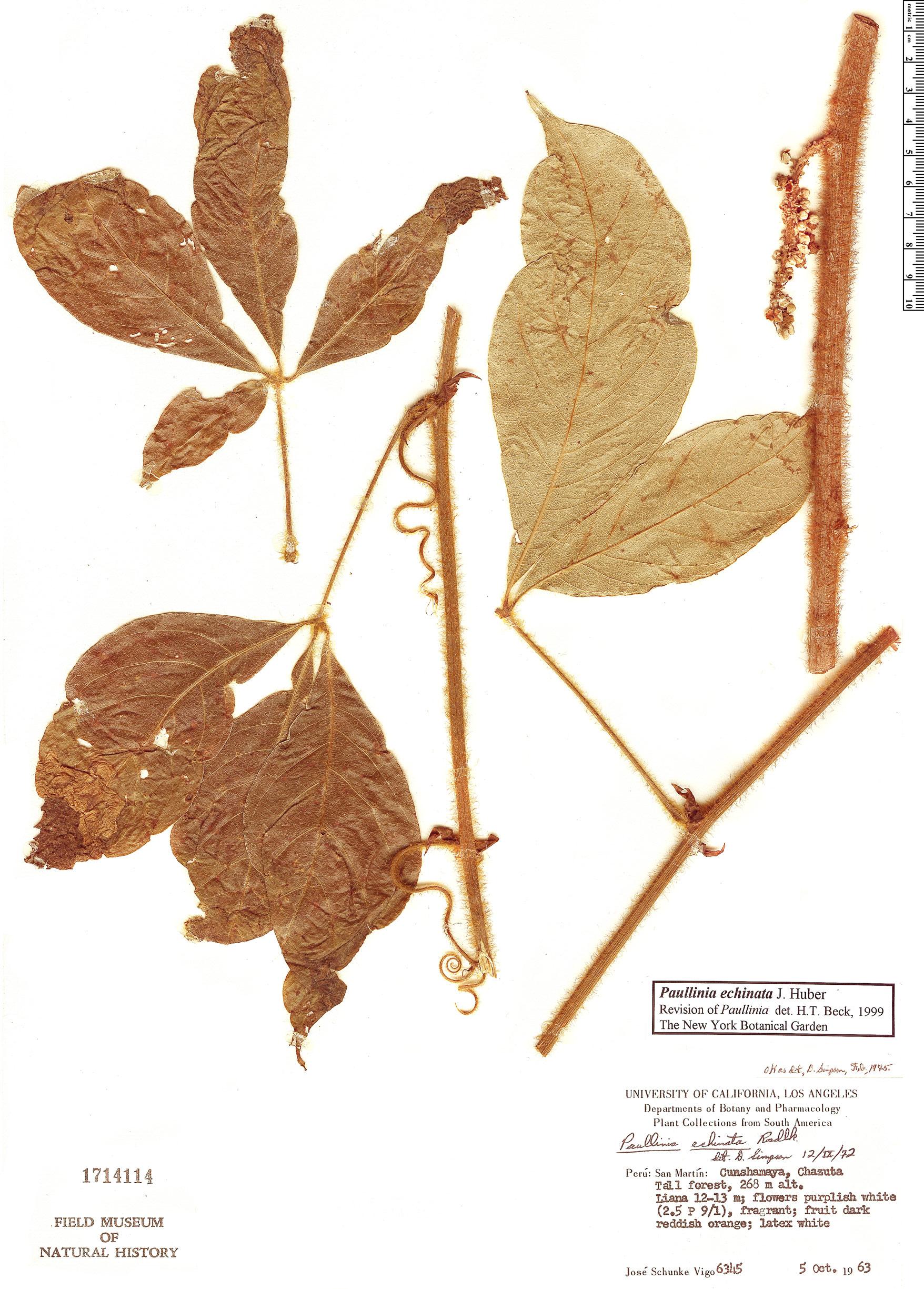 Specimen: Paullinia echinata