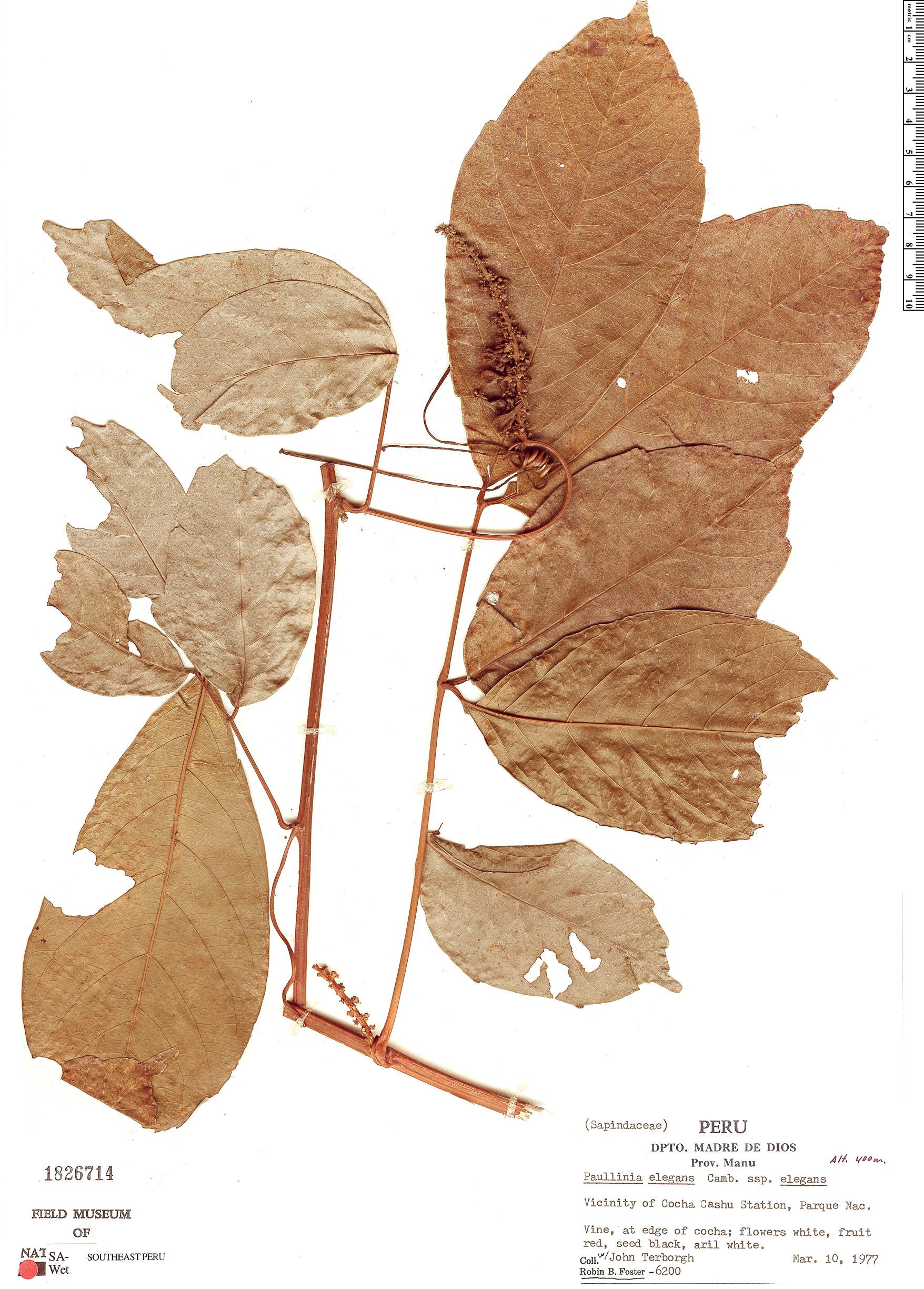 Specimen: Paullinia elegans