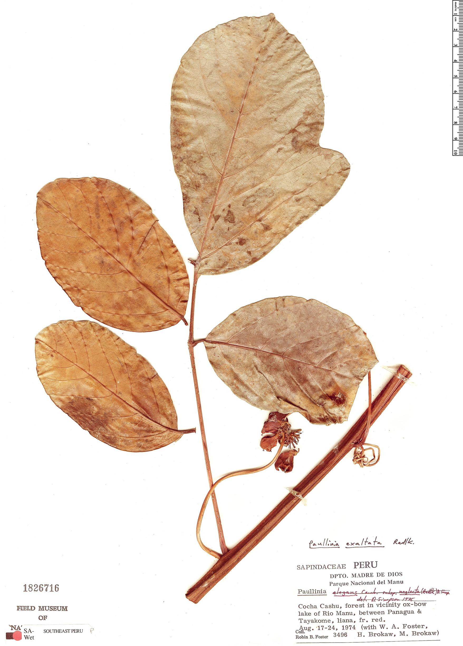 Espécimen: Paullinia exalata