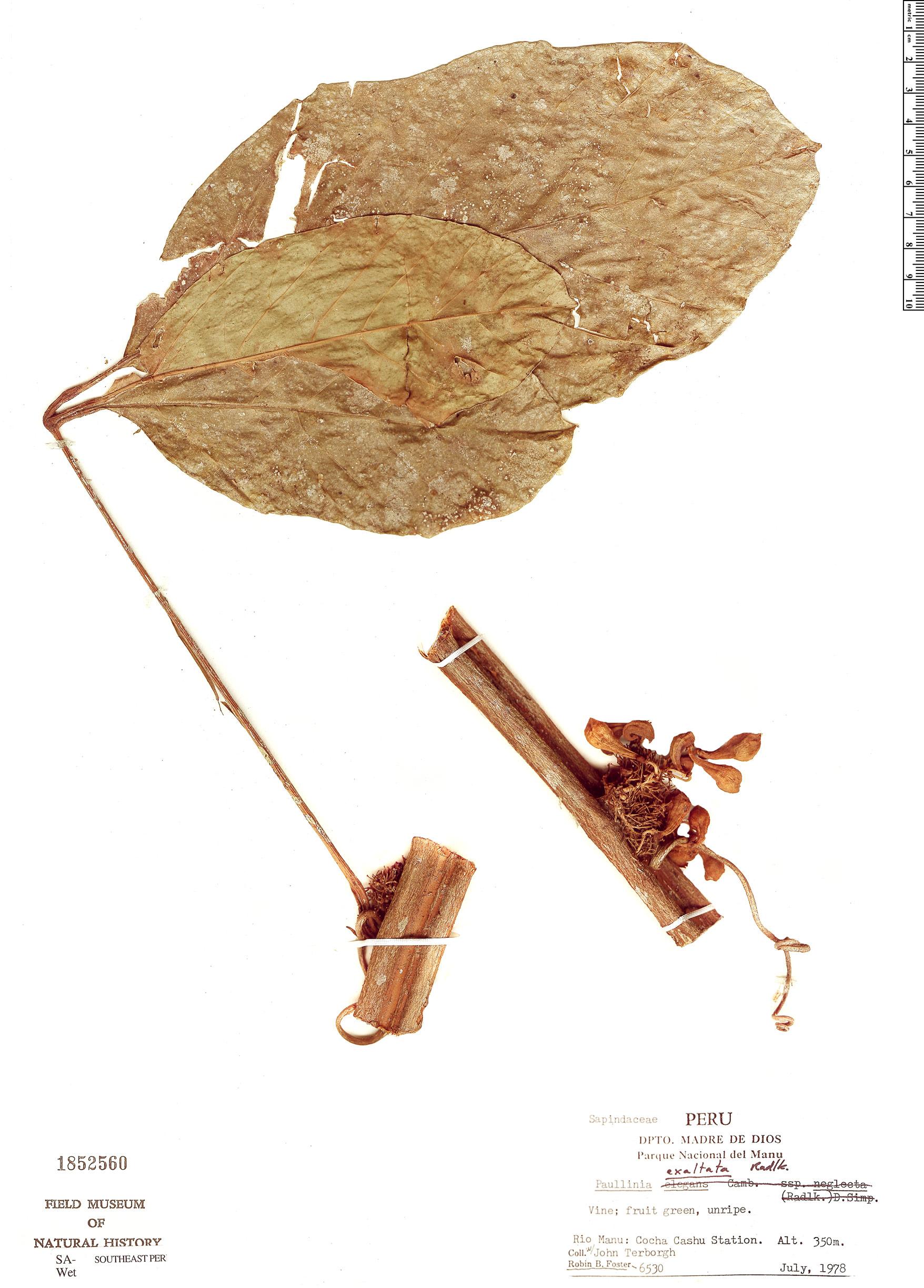 Specimen: Paullinia exalata