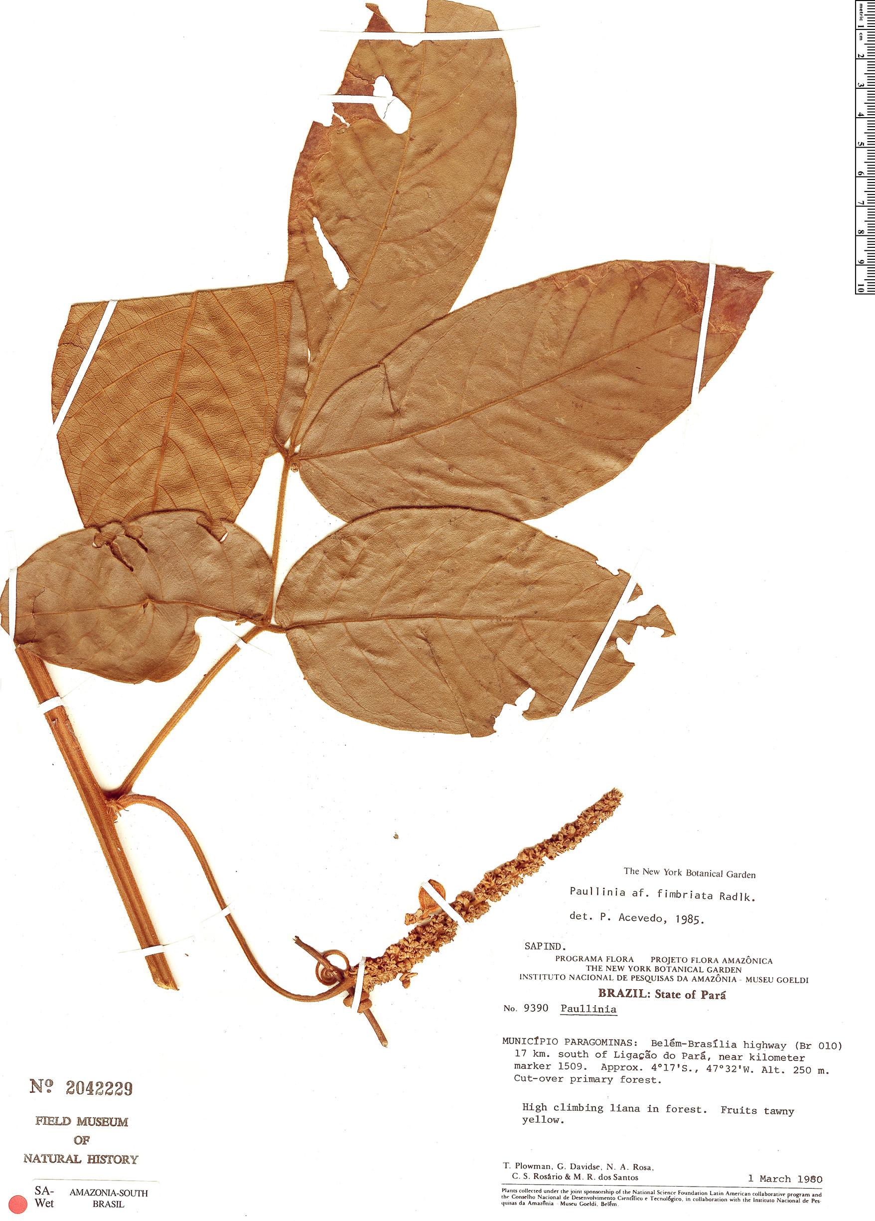 Specimen: Paullinia fimbriata