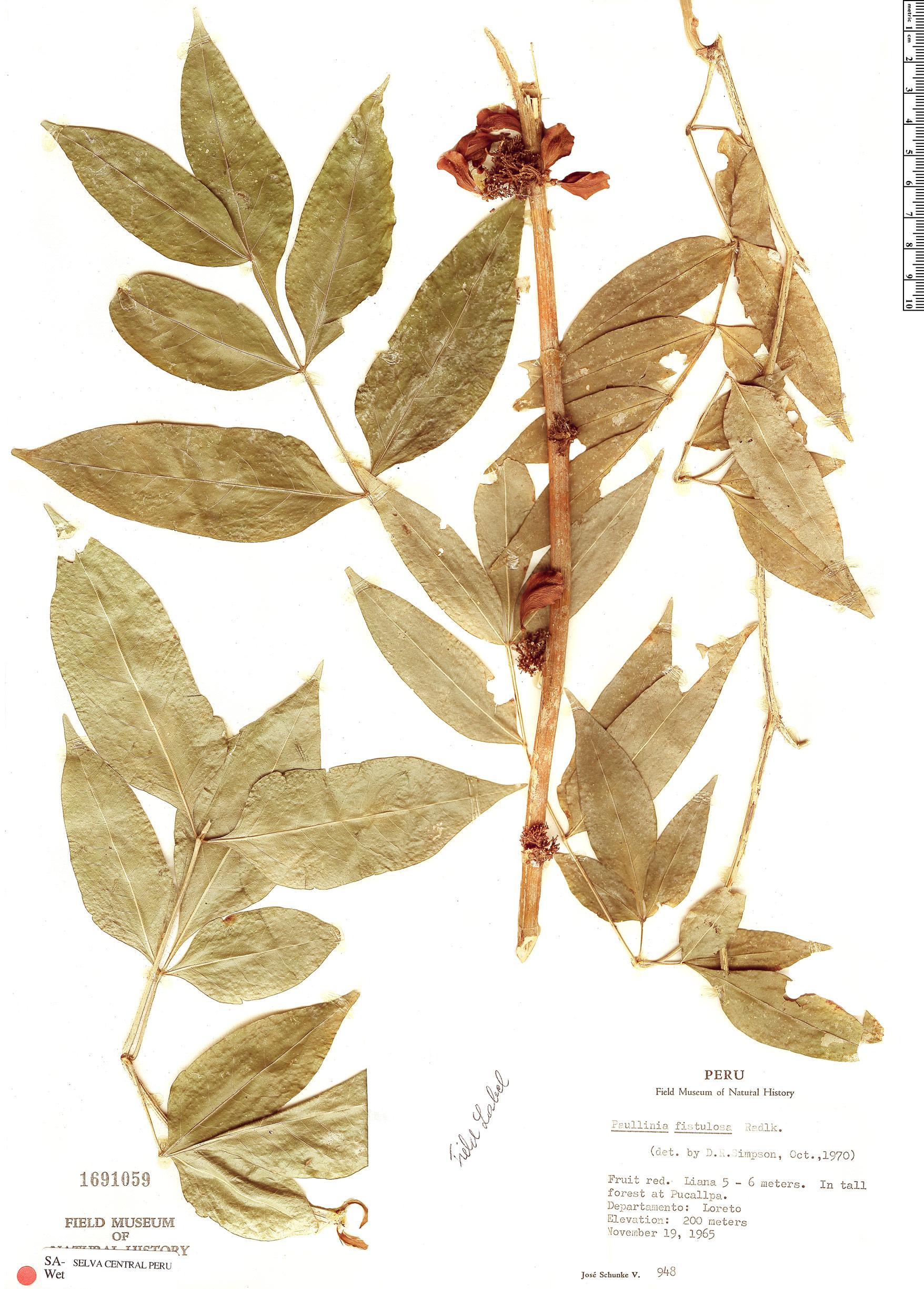 Specimen: Paullinia fistulosa