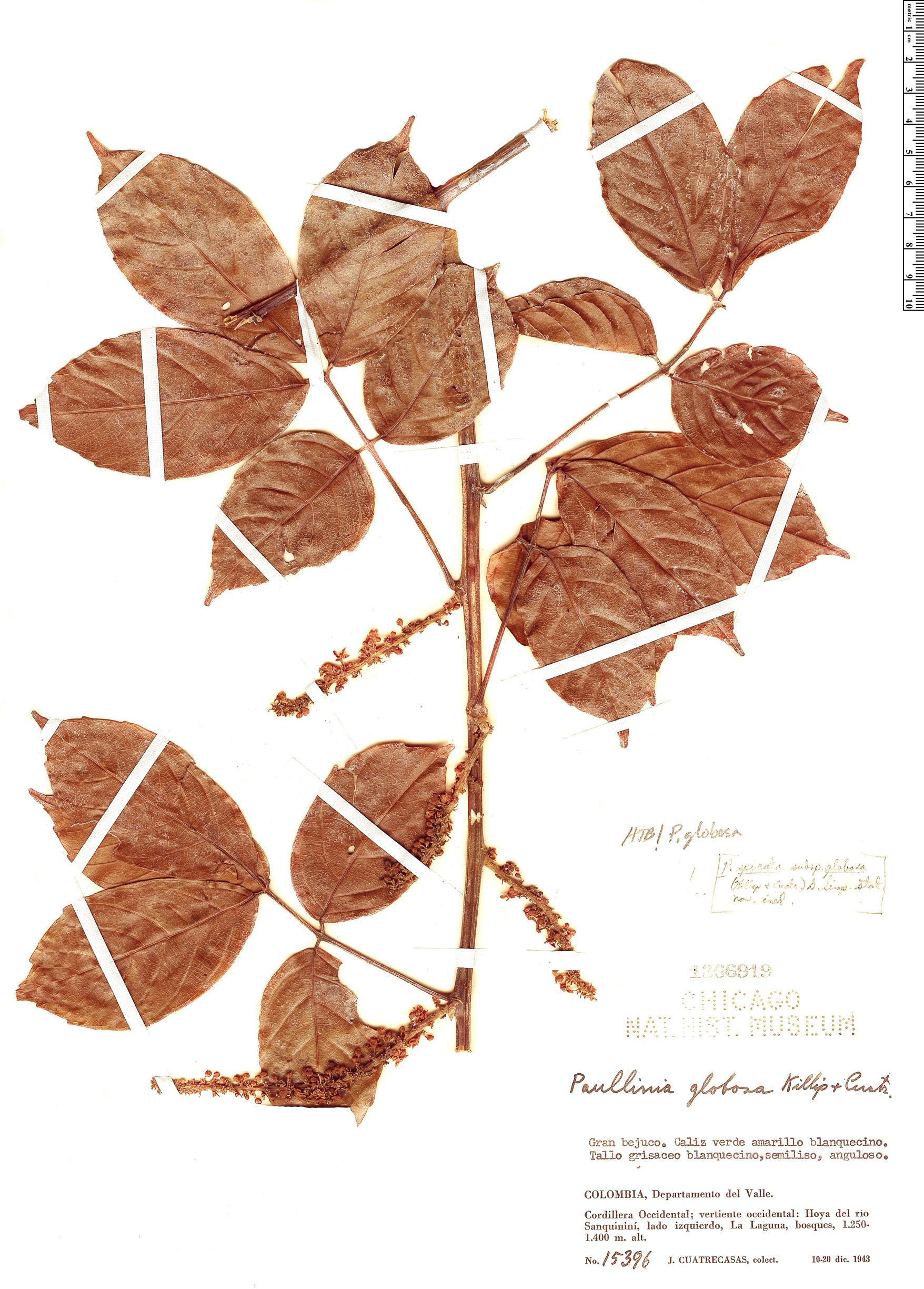Specimen: Paullinia globosa