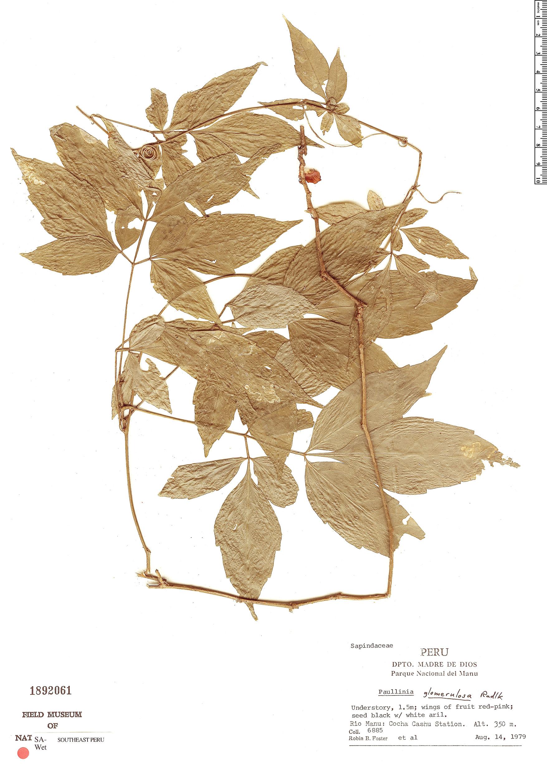 Specimen: Paullinia glomerulosa