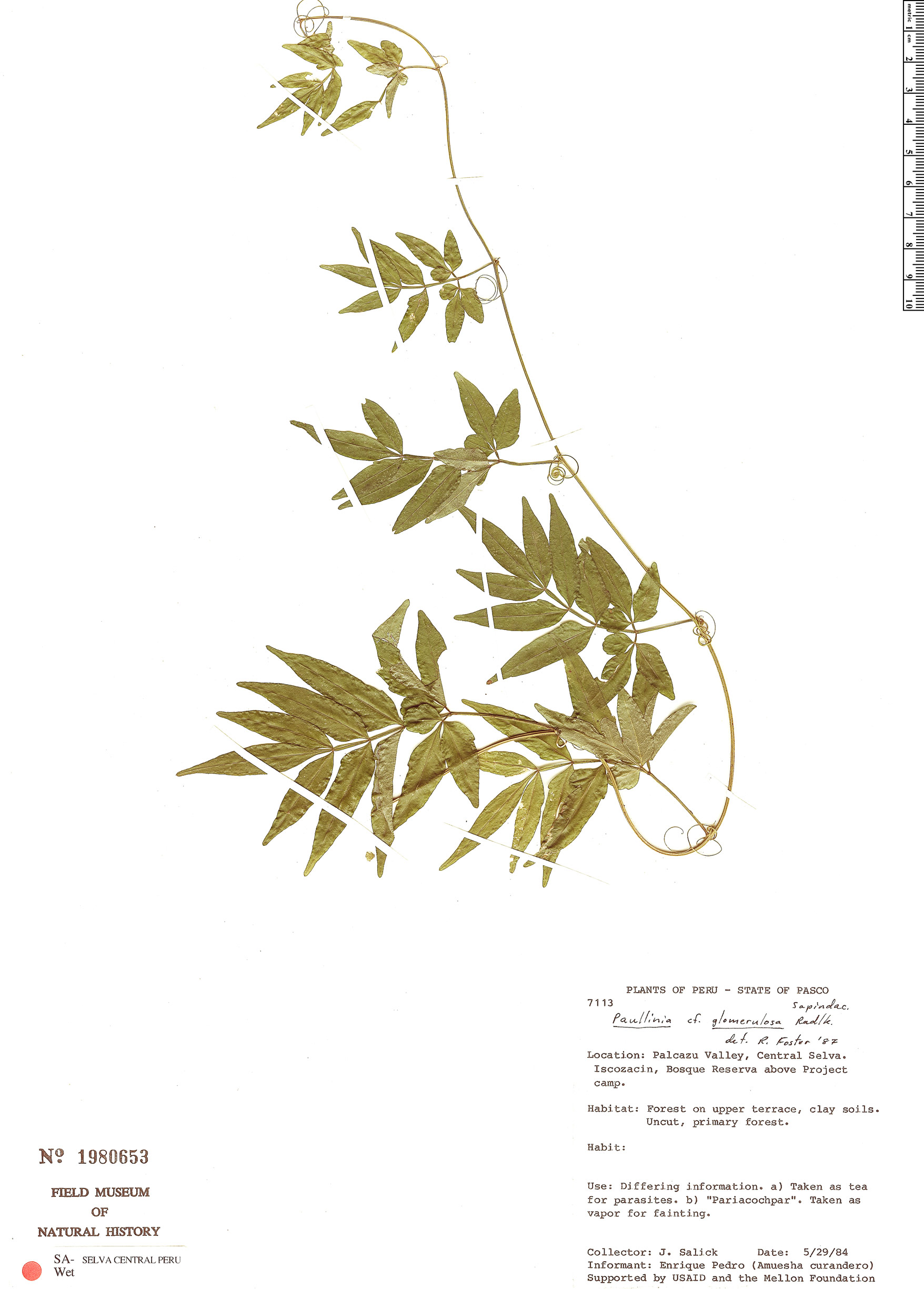 Espécimen: Paullinia glomerulosa