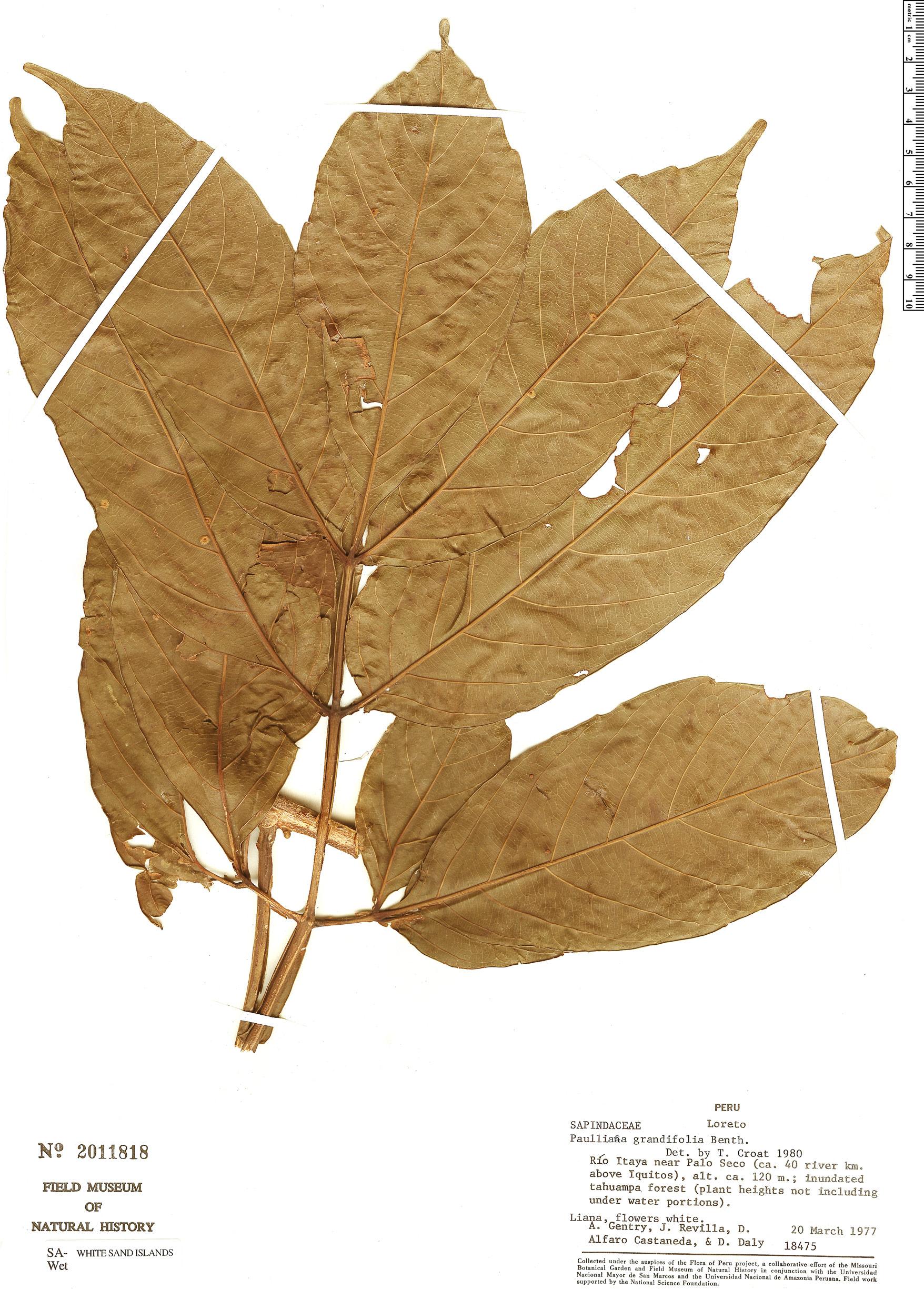Specimen: Paullinia grandifolia