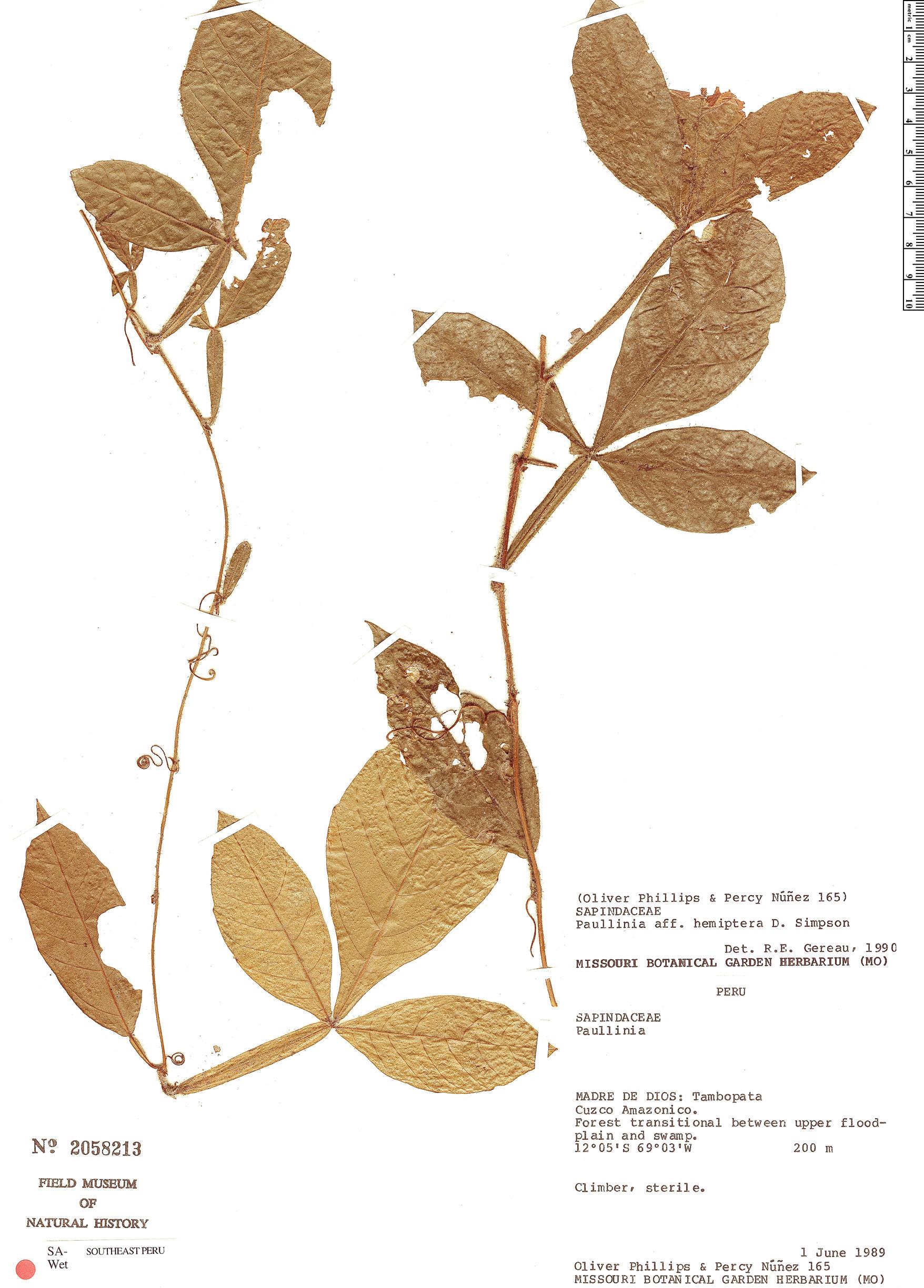Espécimen: Paullinia hemiptera