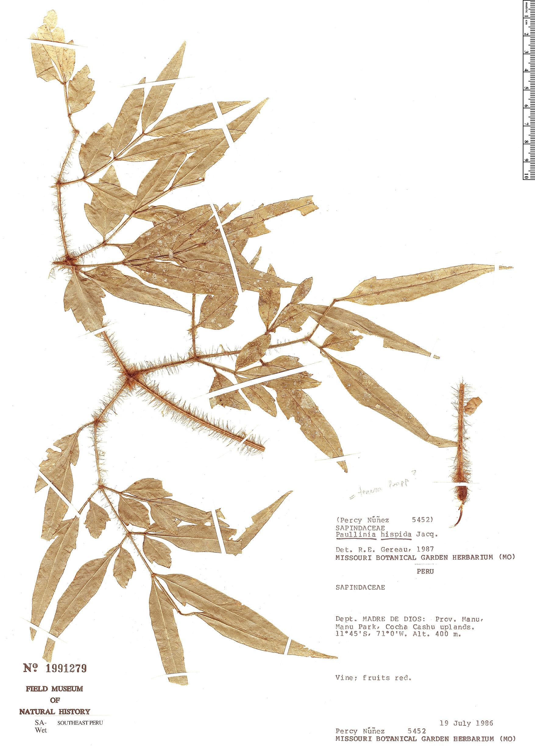Specimen: Paullinia hispida