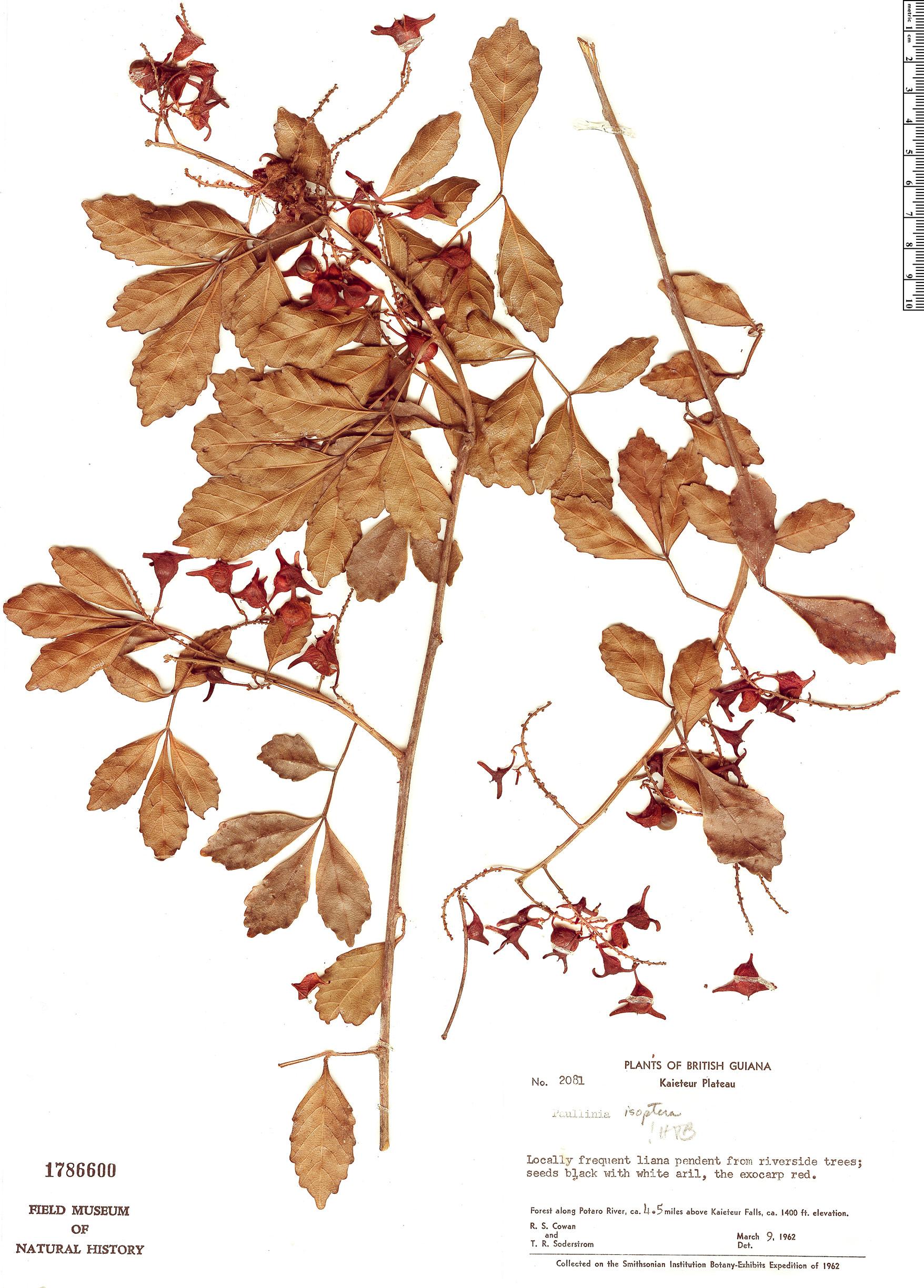 Specimen: Paullinia isoptera