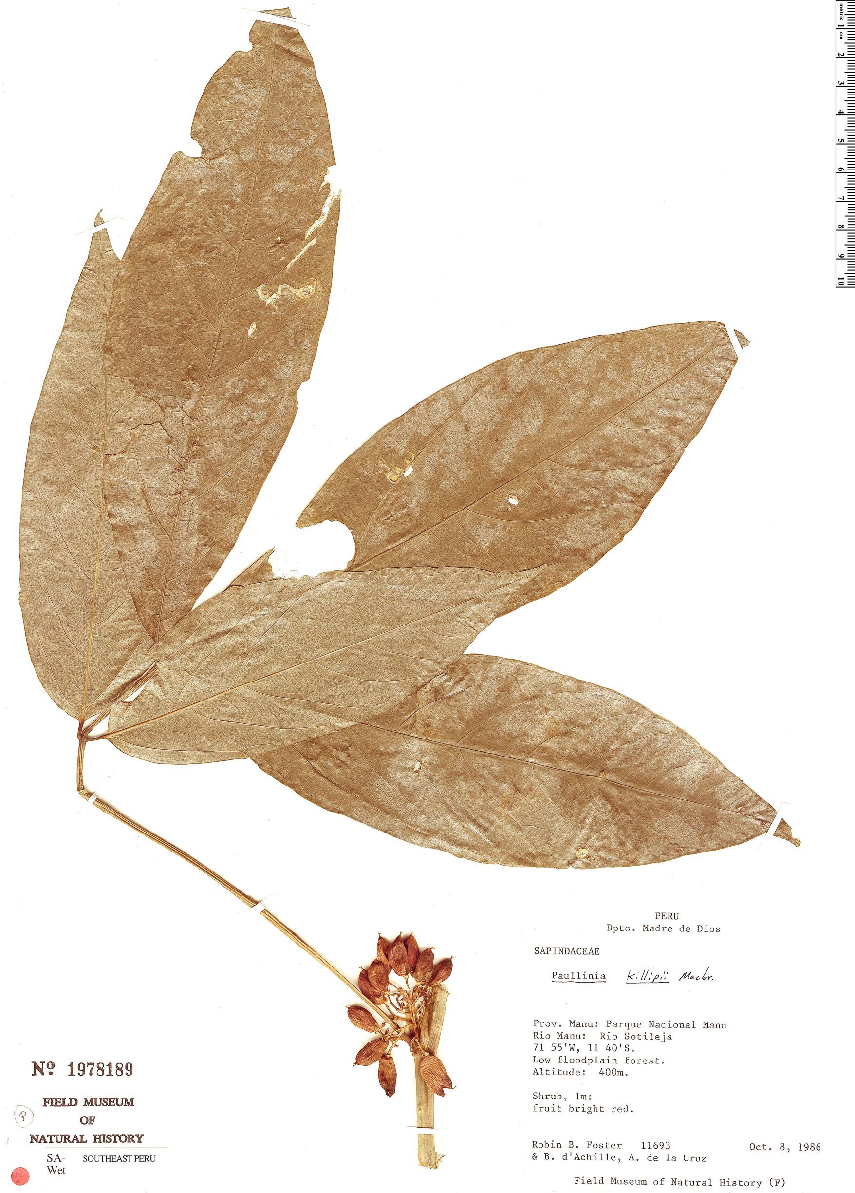 Specimen: Paullinia killipii