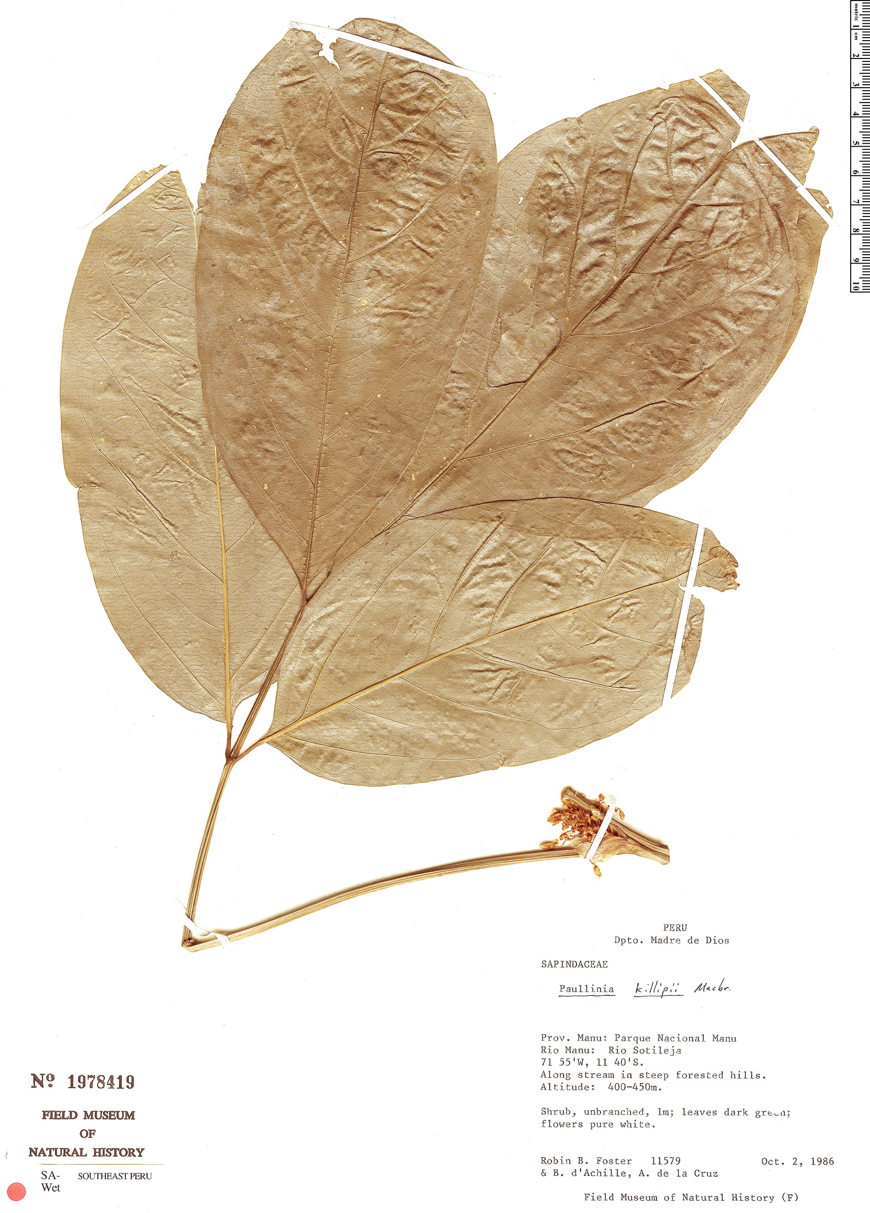 Specimen: Paullinia killipii