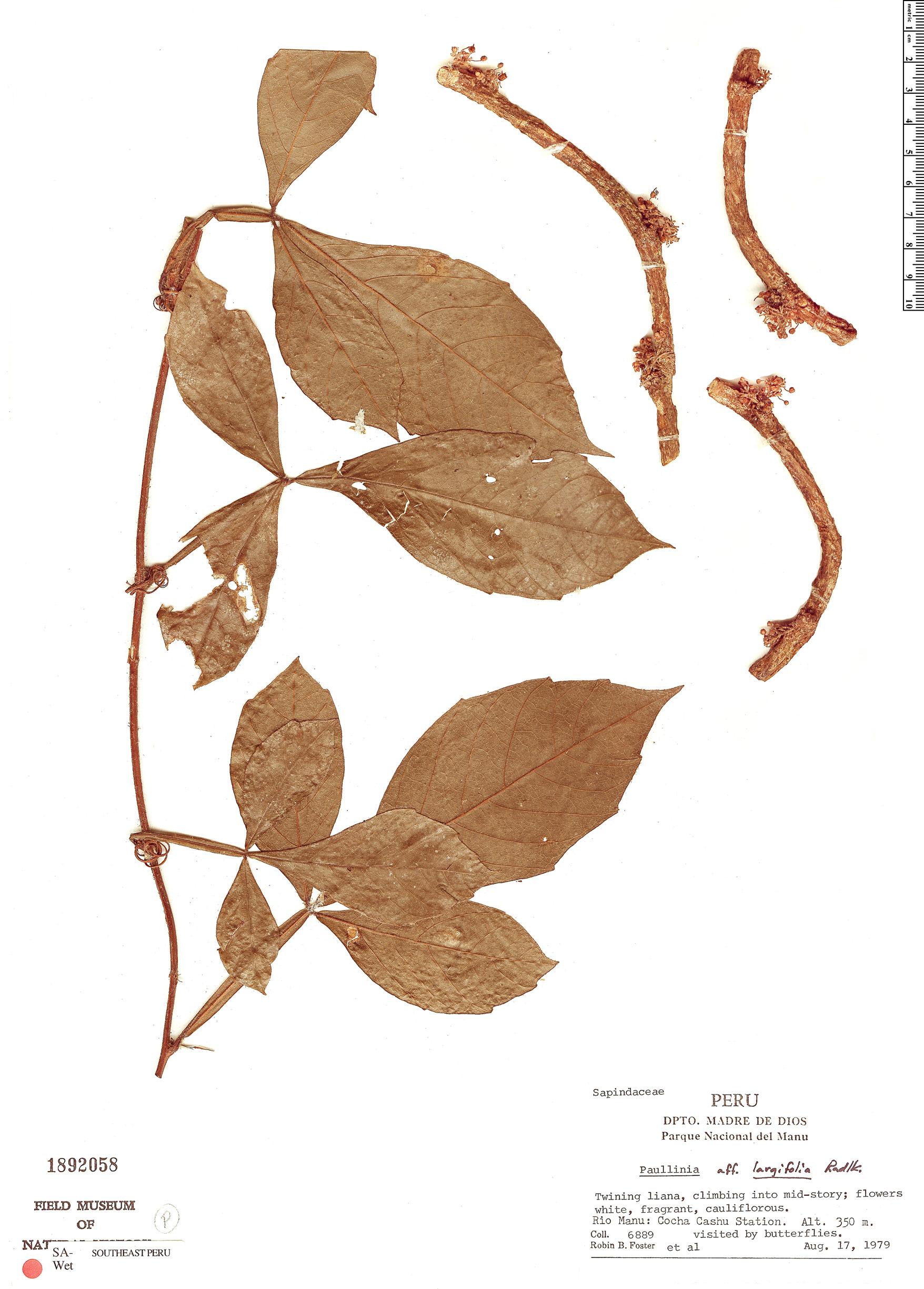 Specimen: Paullinia largifolia