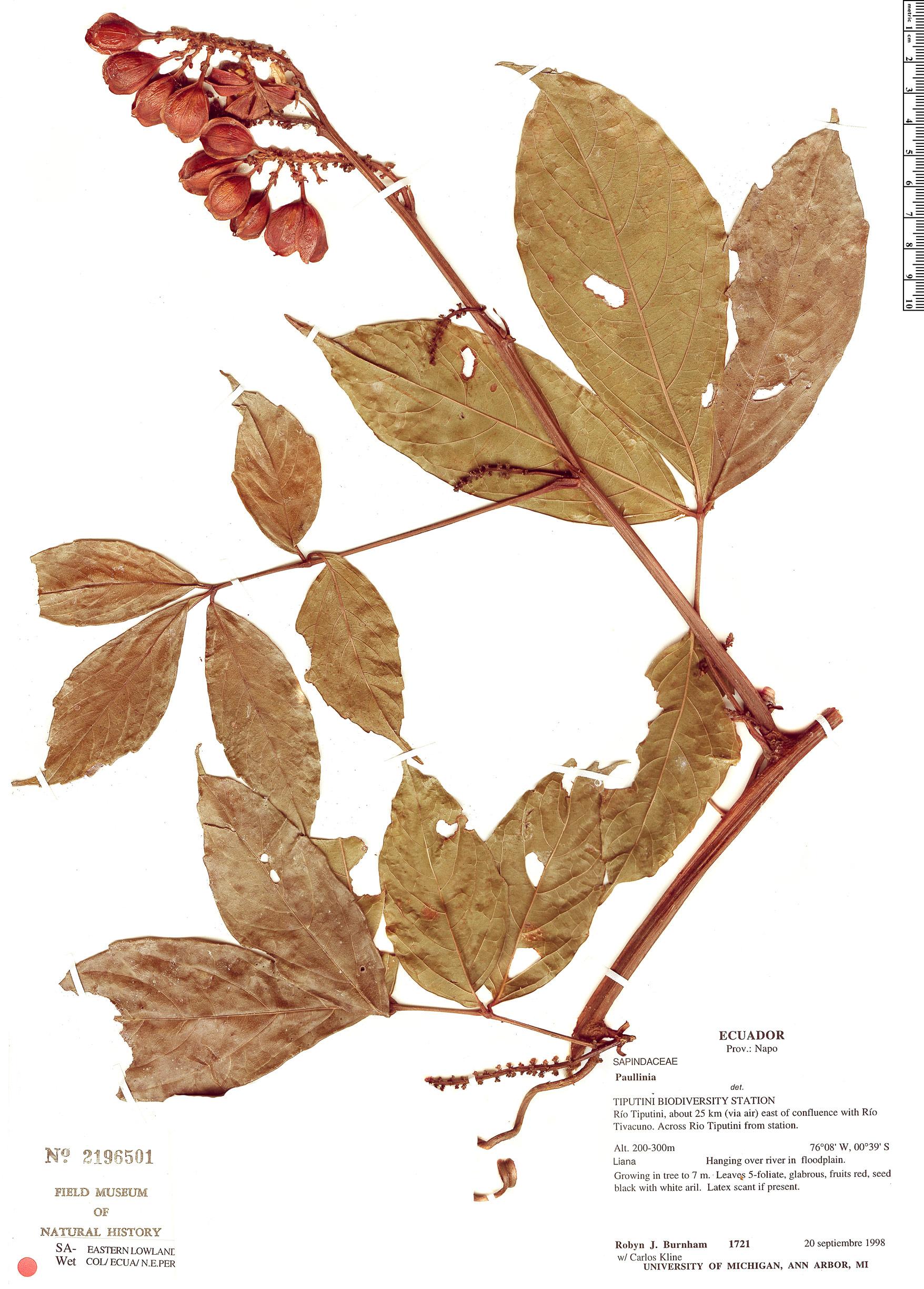 Specimen: Paullinia mariae