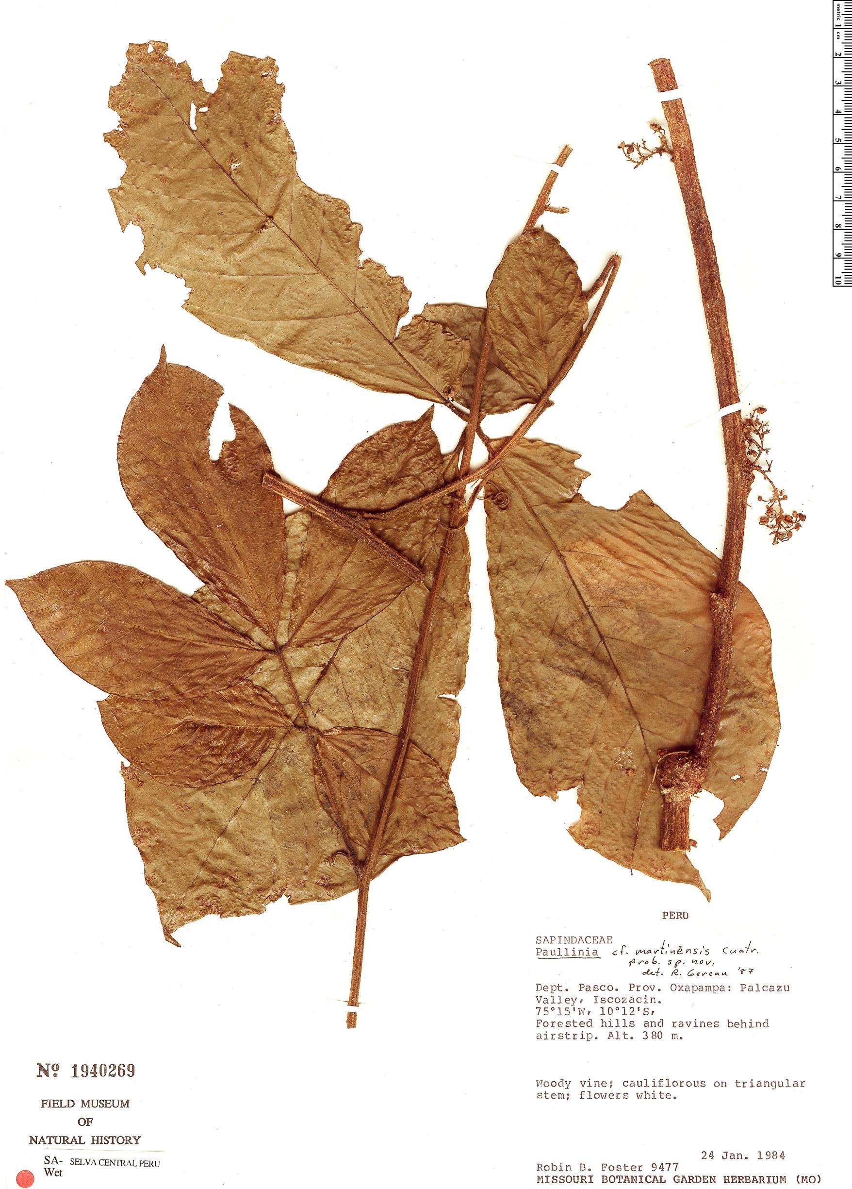 Specimen: Paullinia martinensis