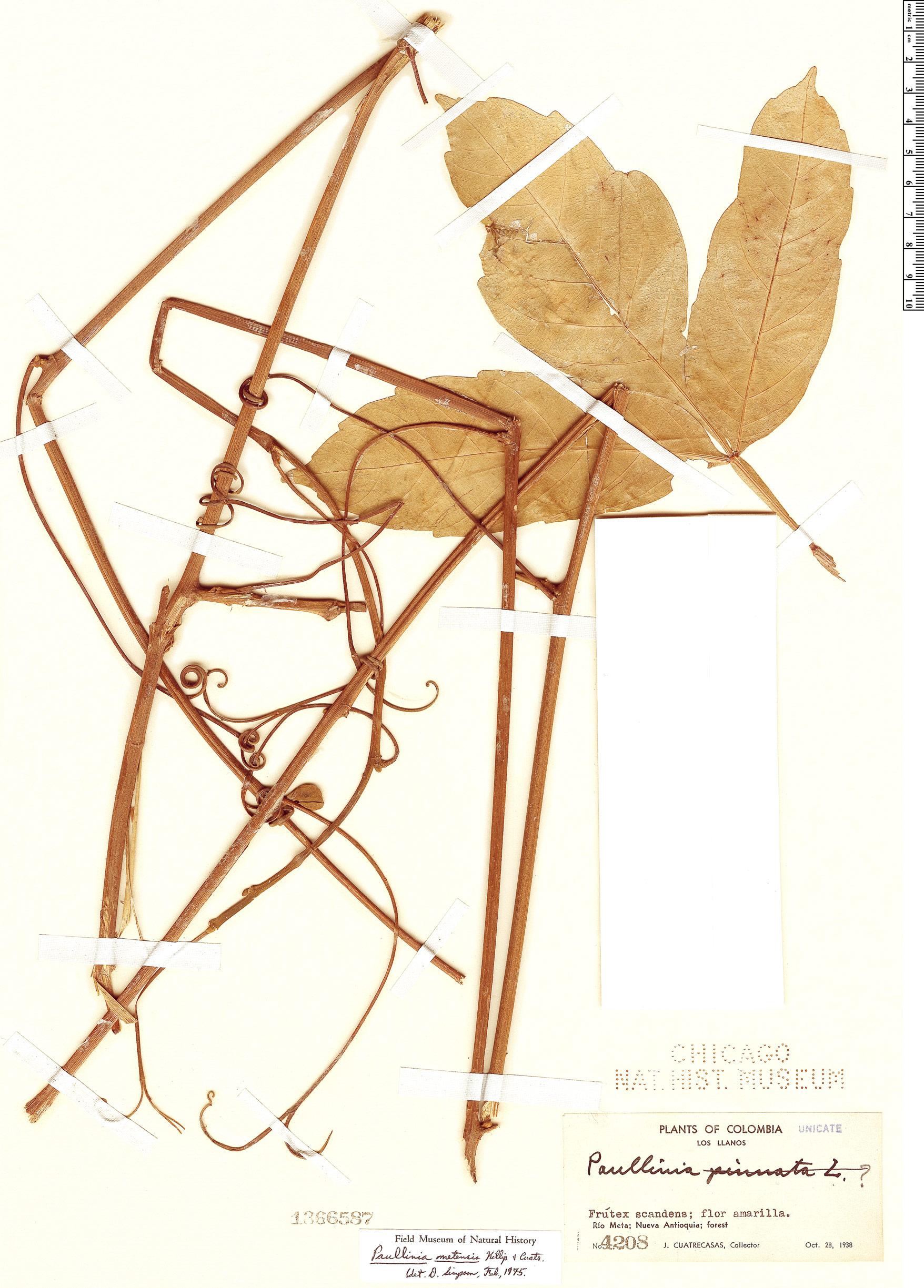 Specimen: Paullinia metensis