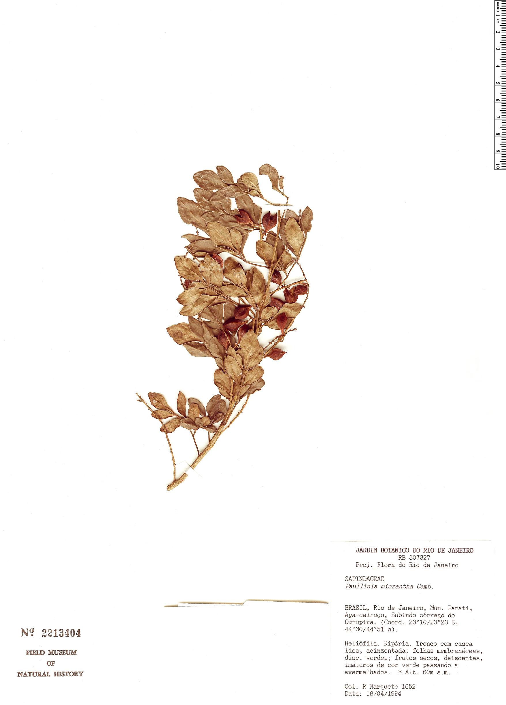 Specimen: Paullinia micrantha