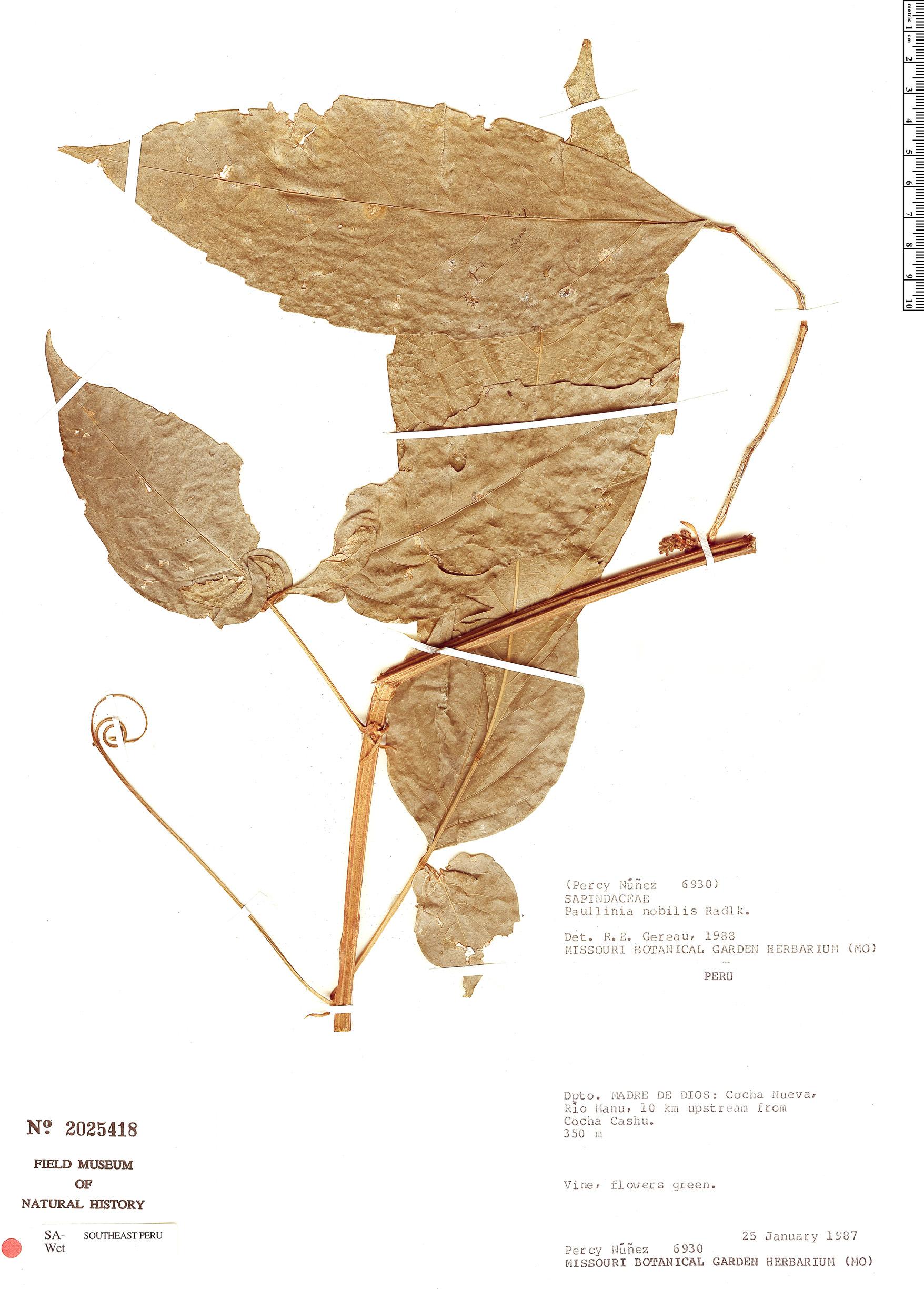 Specimen: Paullinia nobilis