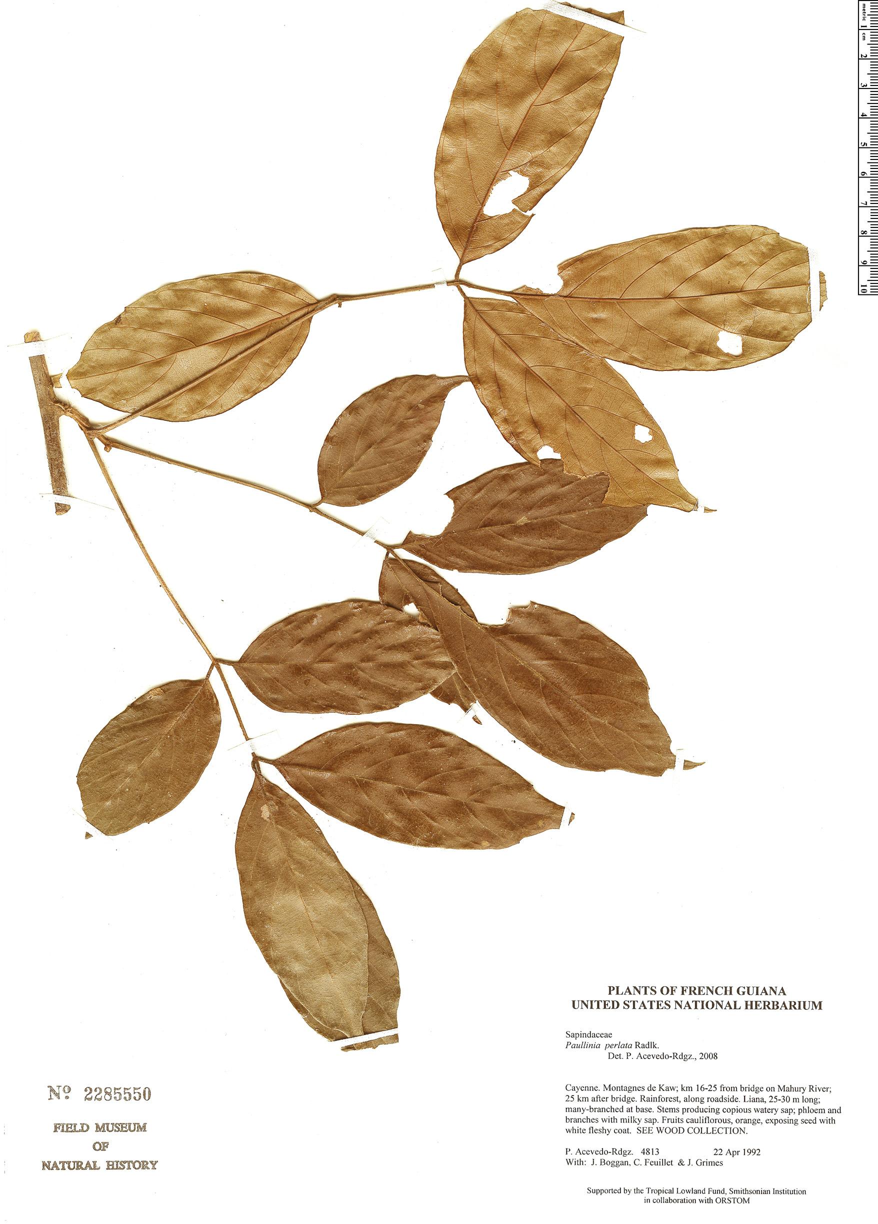 Specimen: Paullinia perlata
