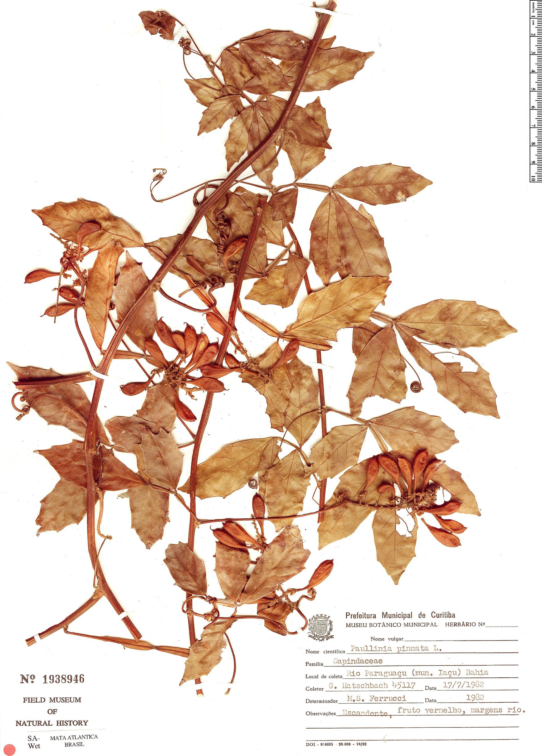 Espécimen: Paullinia pinnata