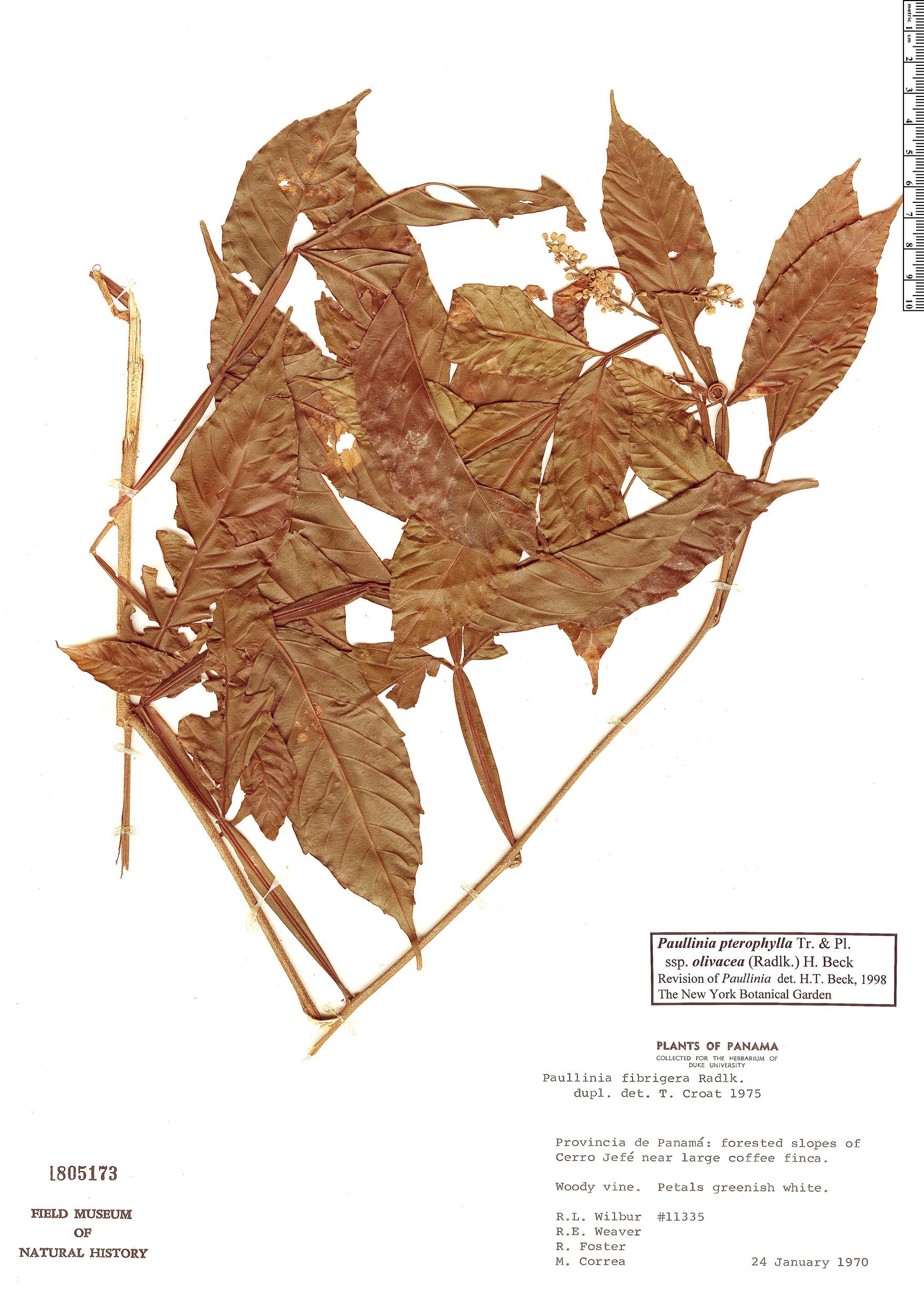 Espécime: Paullinia olivacea