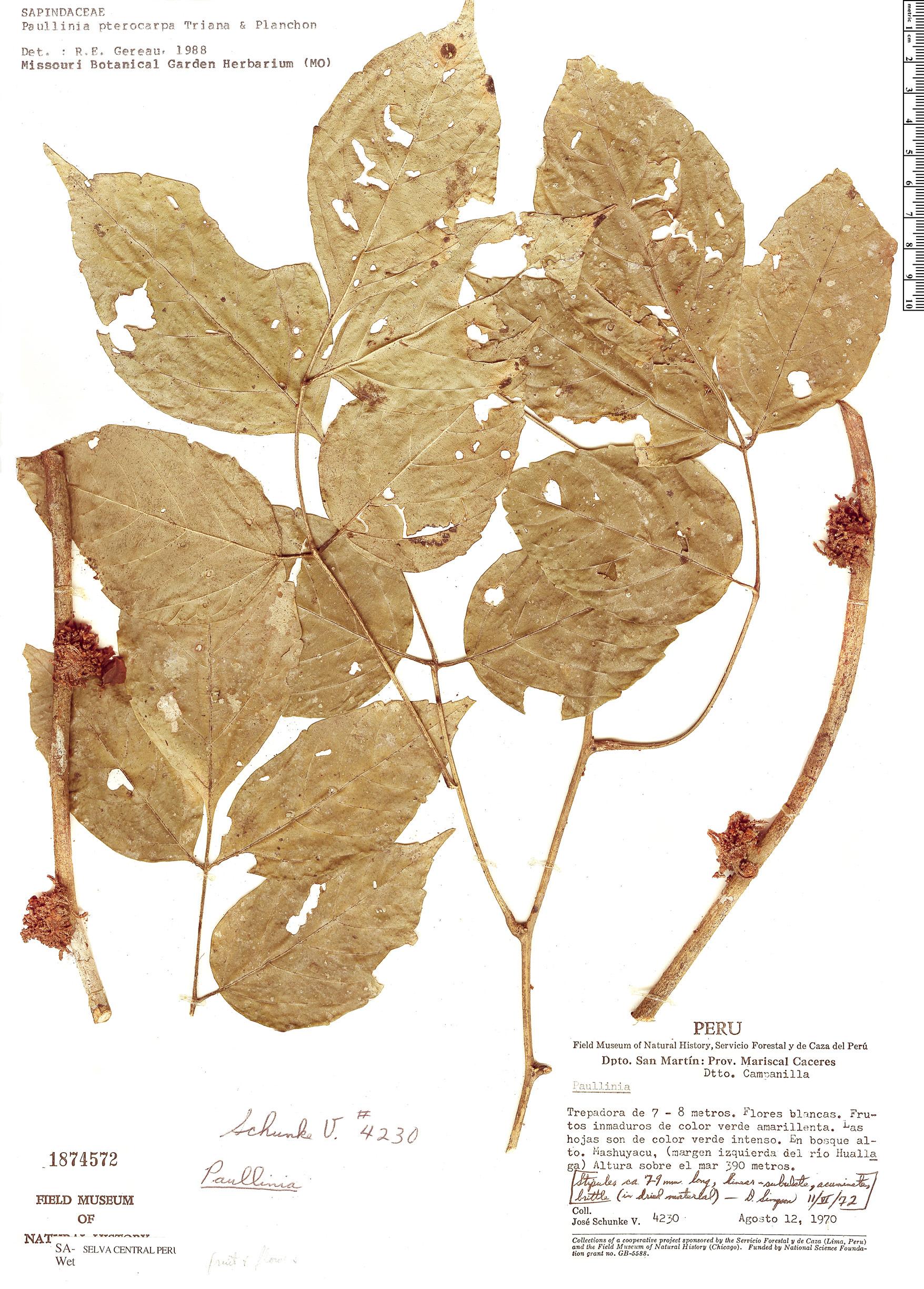 Specimen: Paullinia pterocarpa