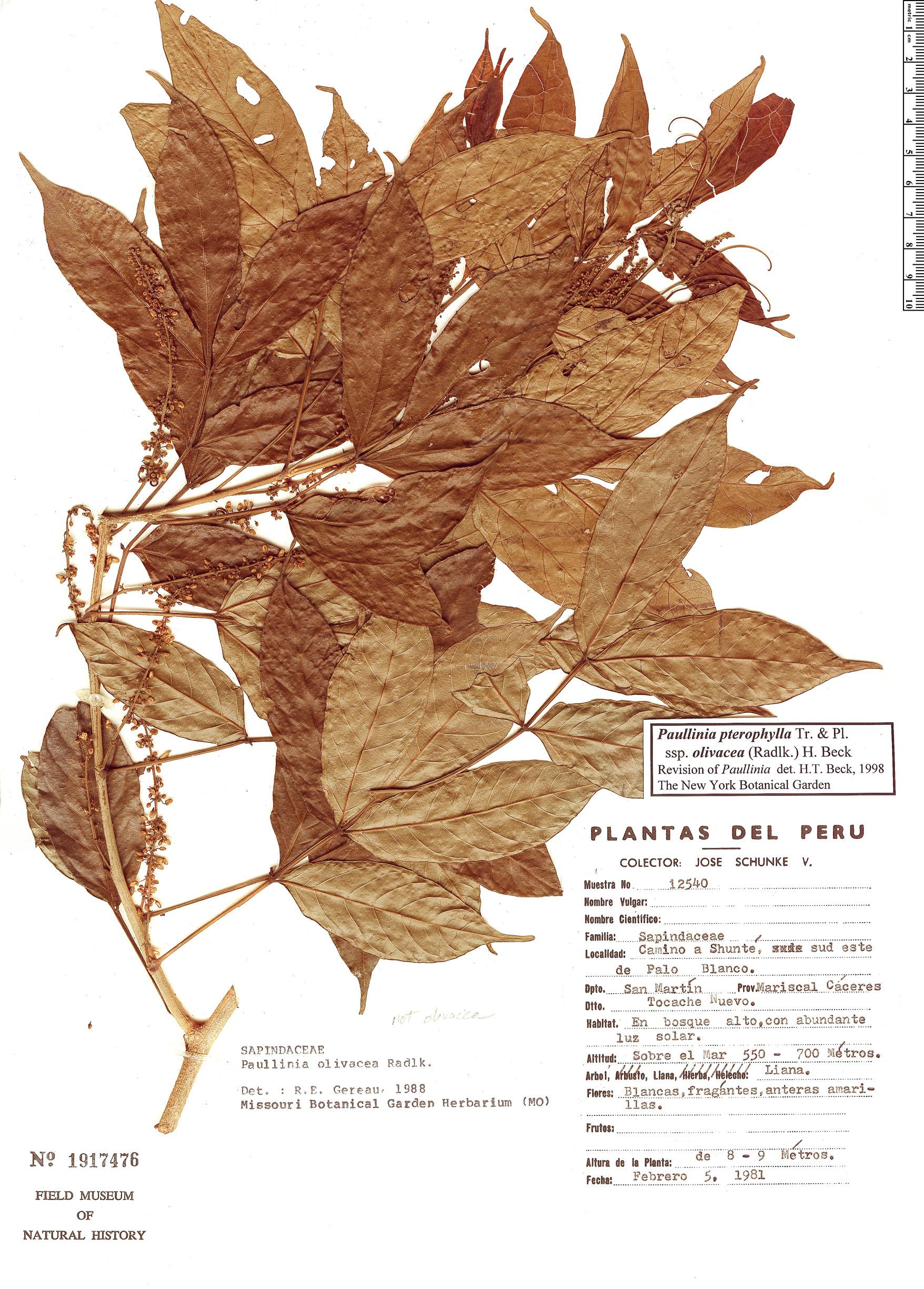 Specimen: Paullinia olivacea