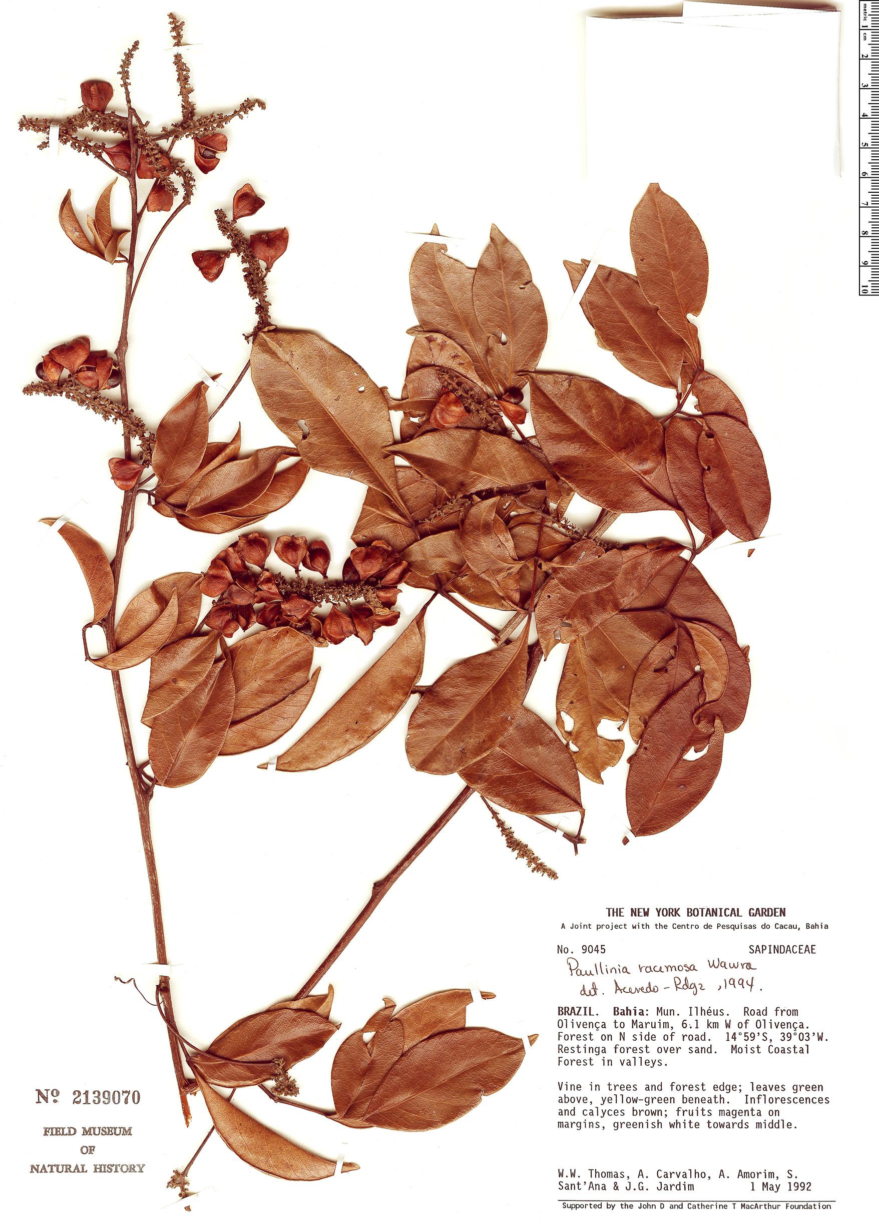 Specimen: Paullinia racemosa