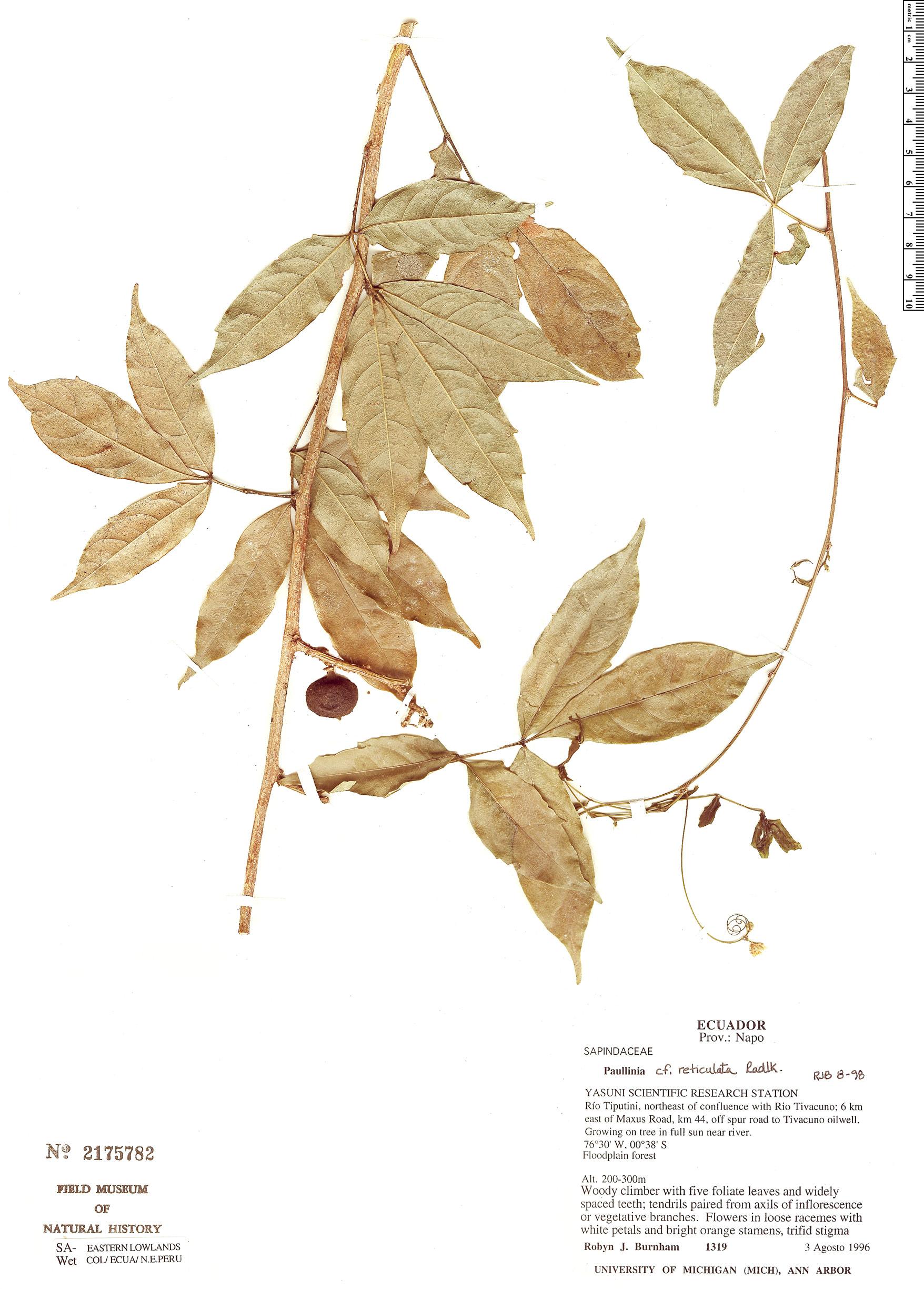Specimen: Paullinia reticulata