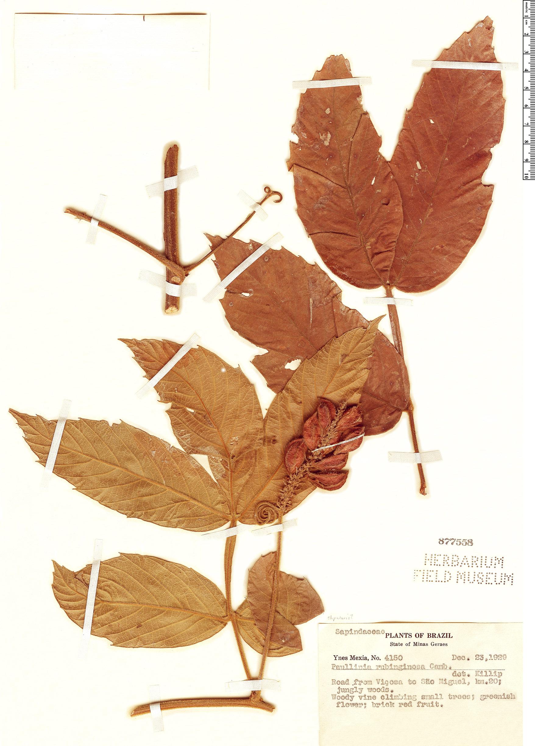 Specimen: Paullinia rubiginosa
