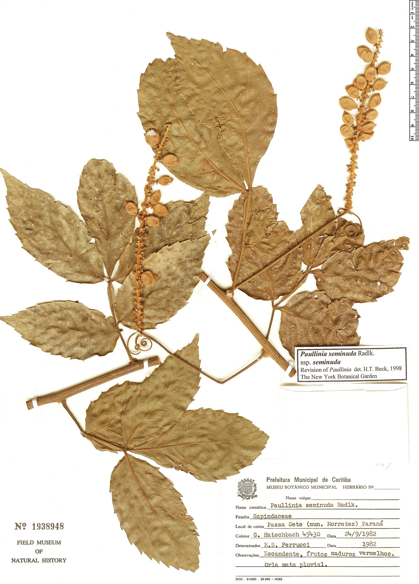 Specimen: Paullinia seminuda