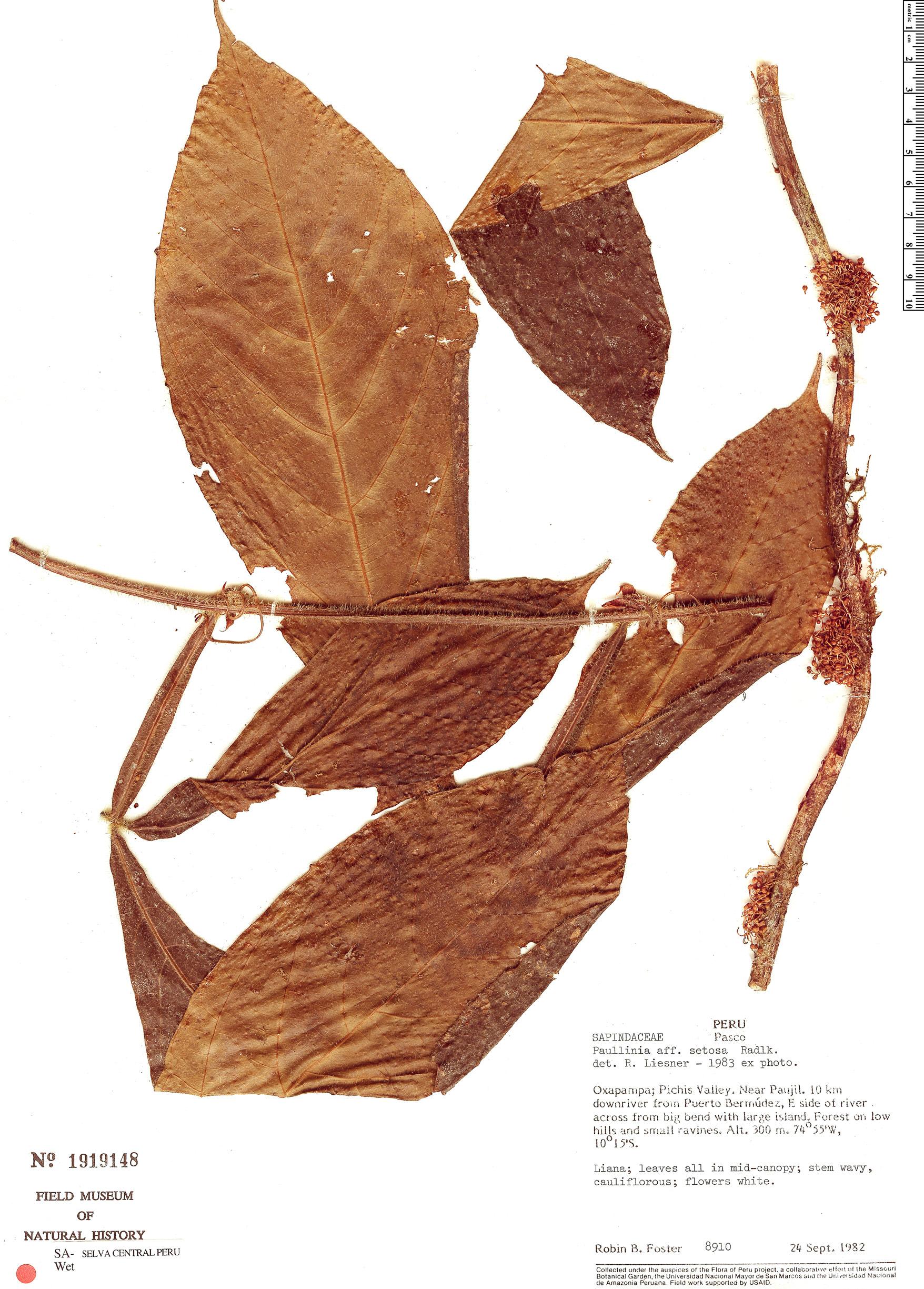 Specimen: Paullinia setosa