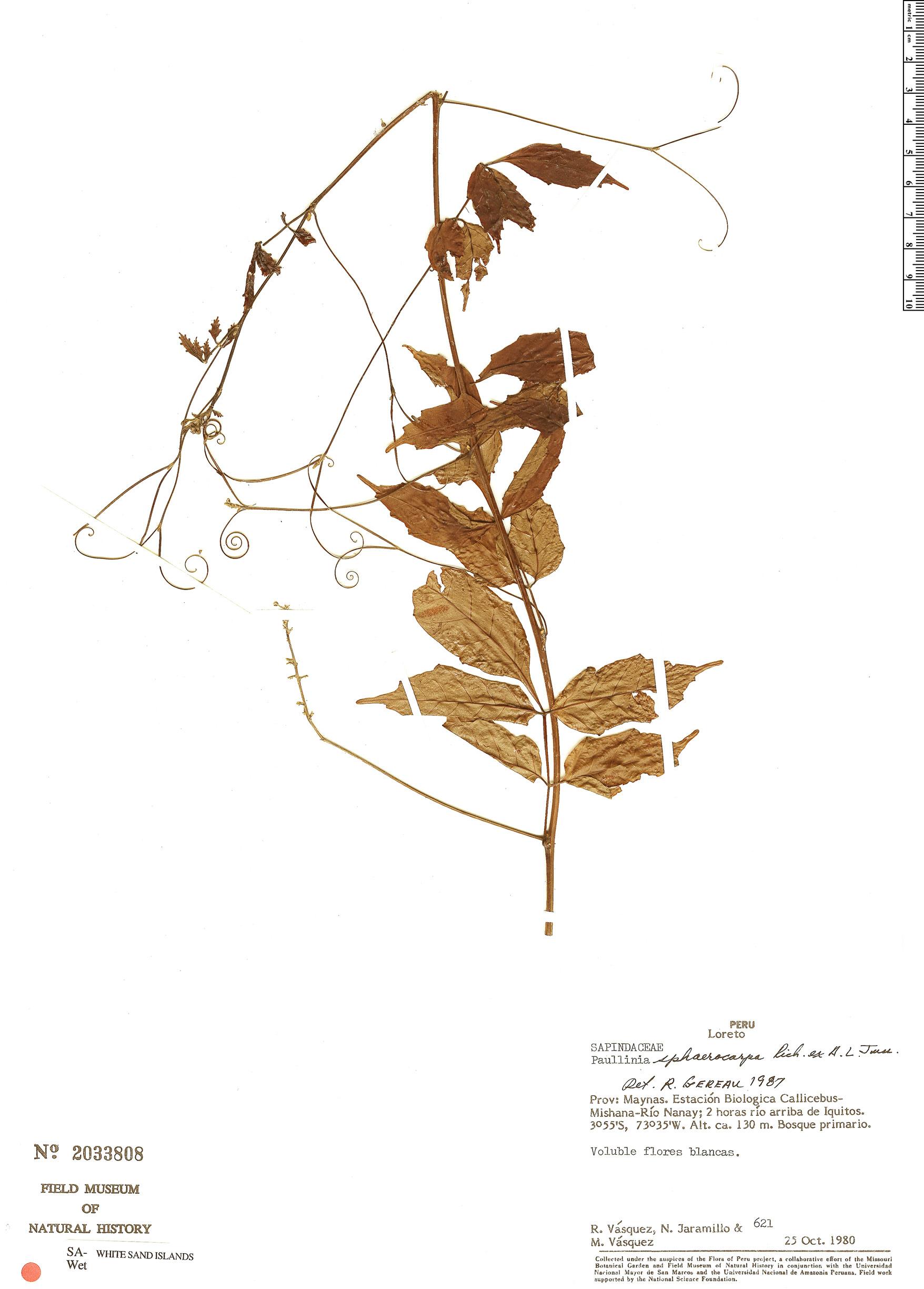 Specimen: Paullinia sphaerocarpa