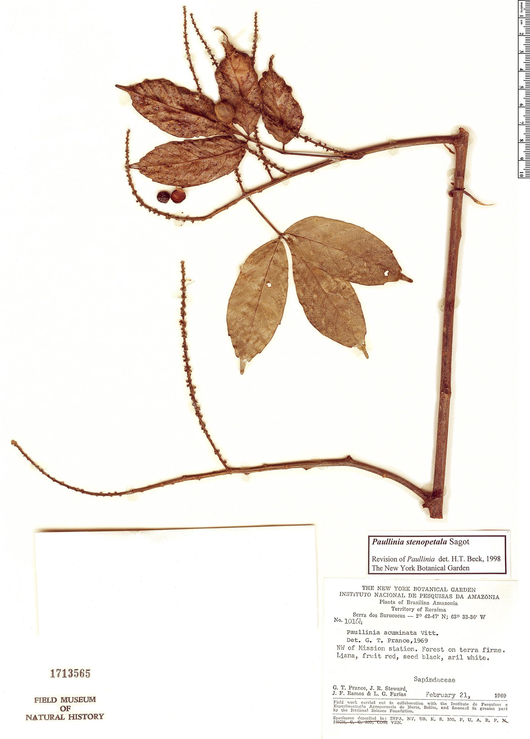 Specimen: Paullinia stenopetala