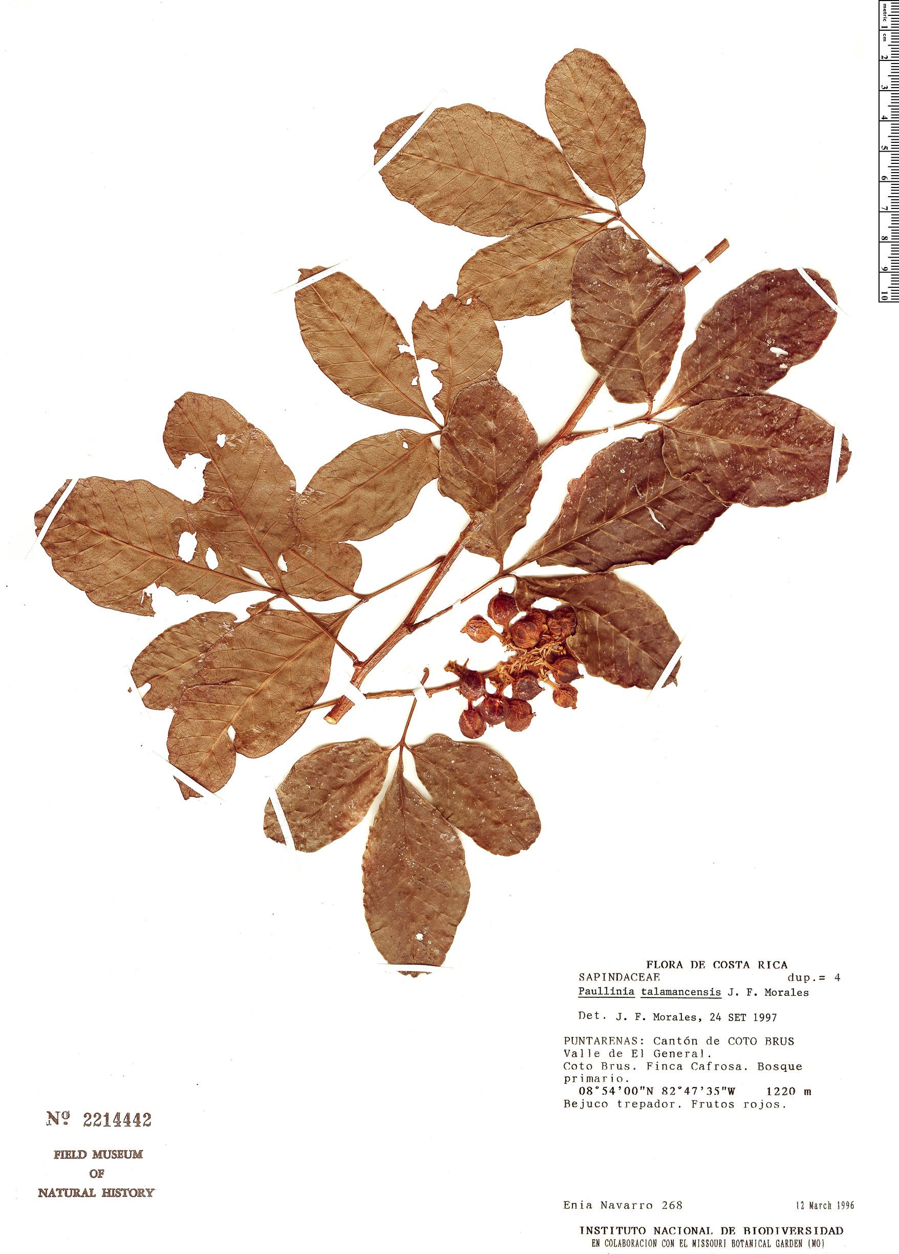 Specimen: Paullinia talamancensis