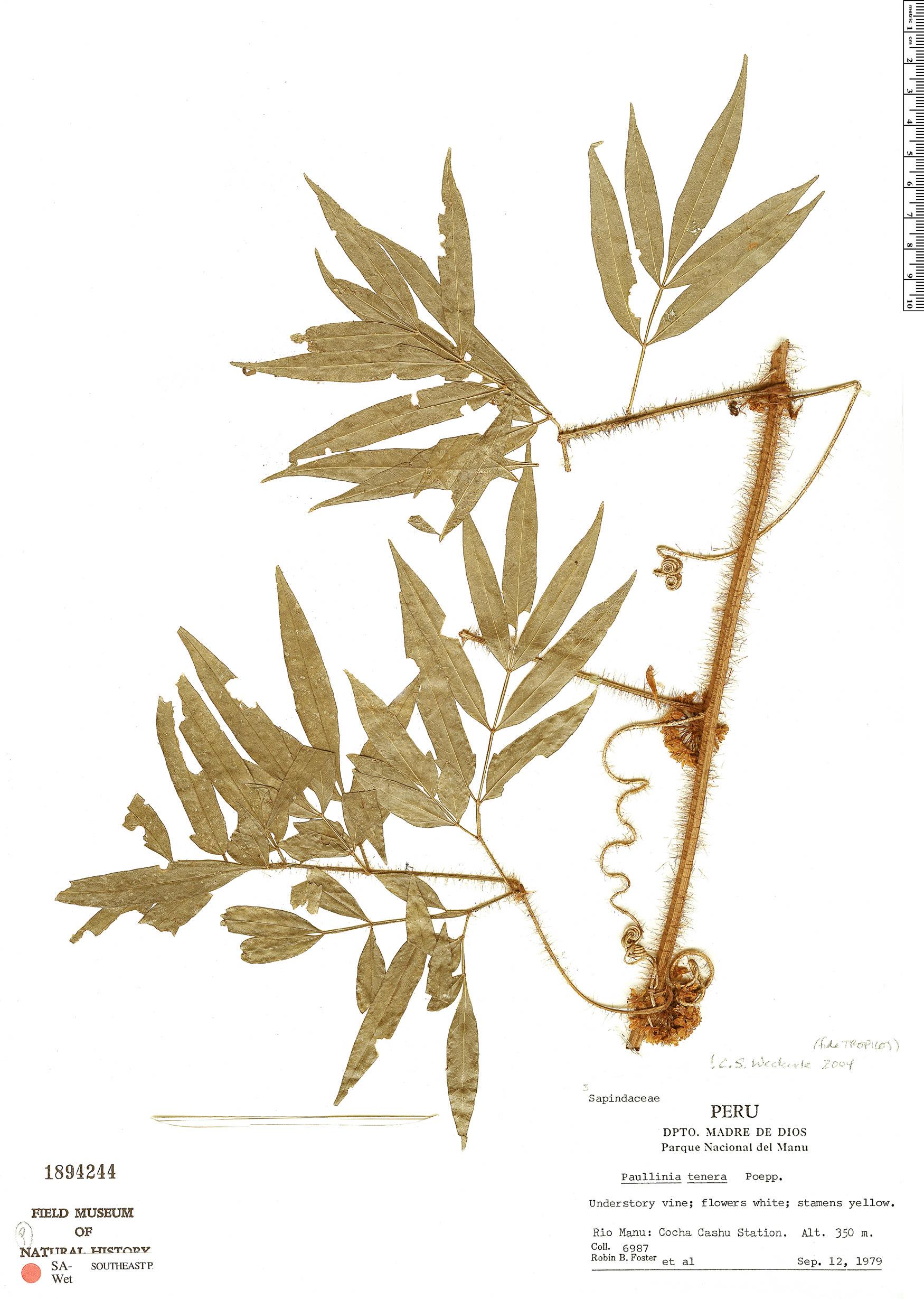 Specimen: Paullinia tenera