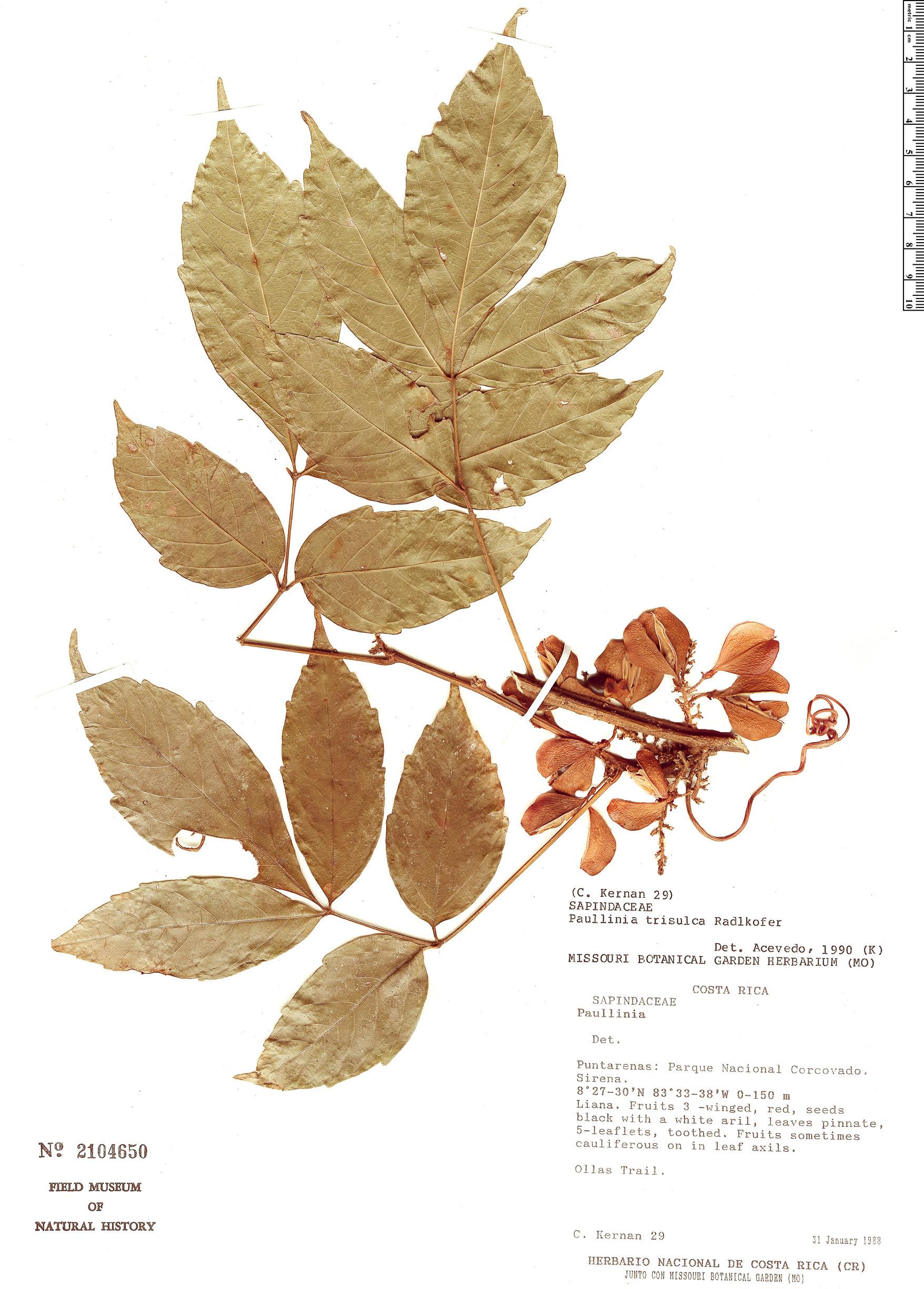 Specimen: Paullinia trisulca