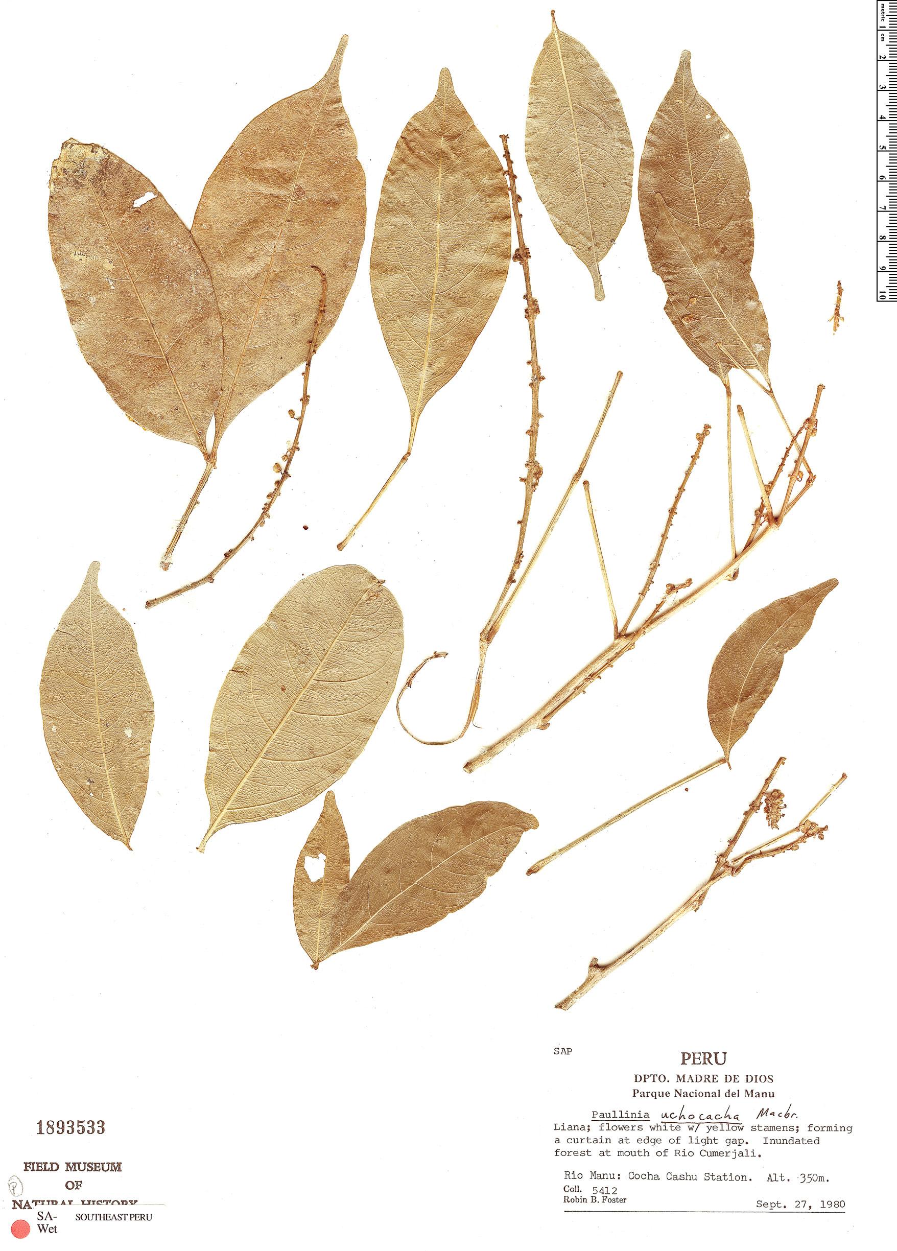 Specimen: Paullinia uchocacha