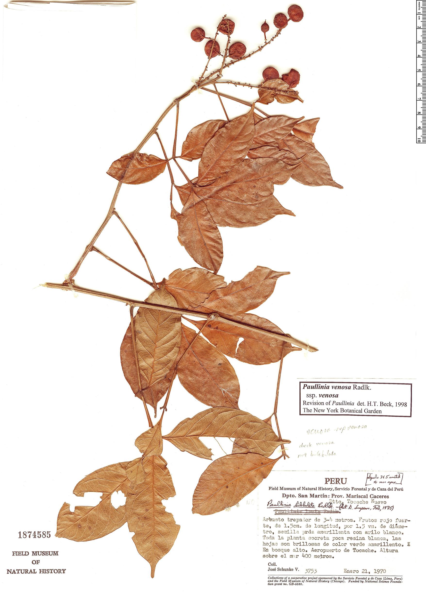 Specimen: Paullinia venosa
