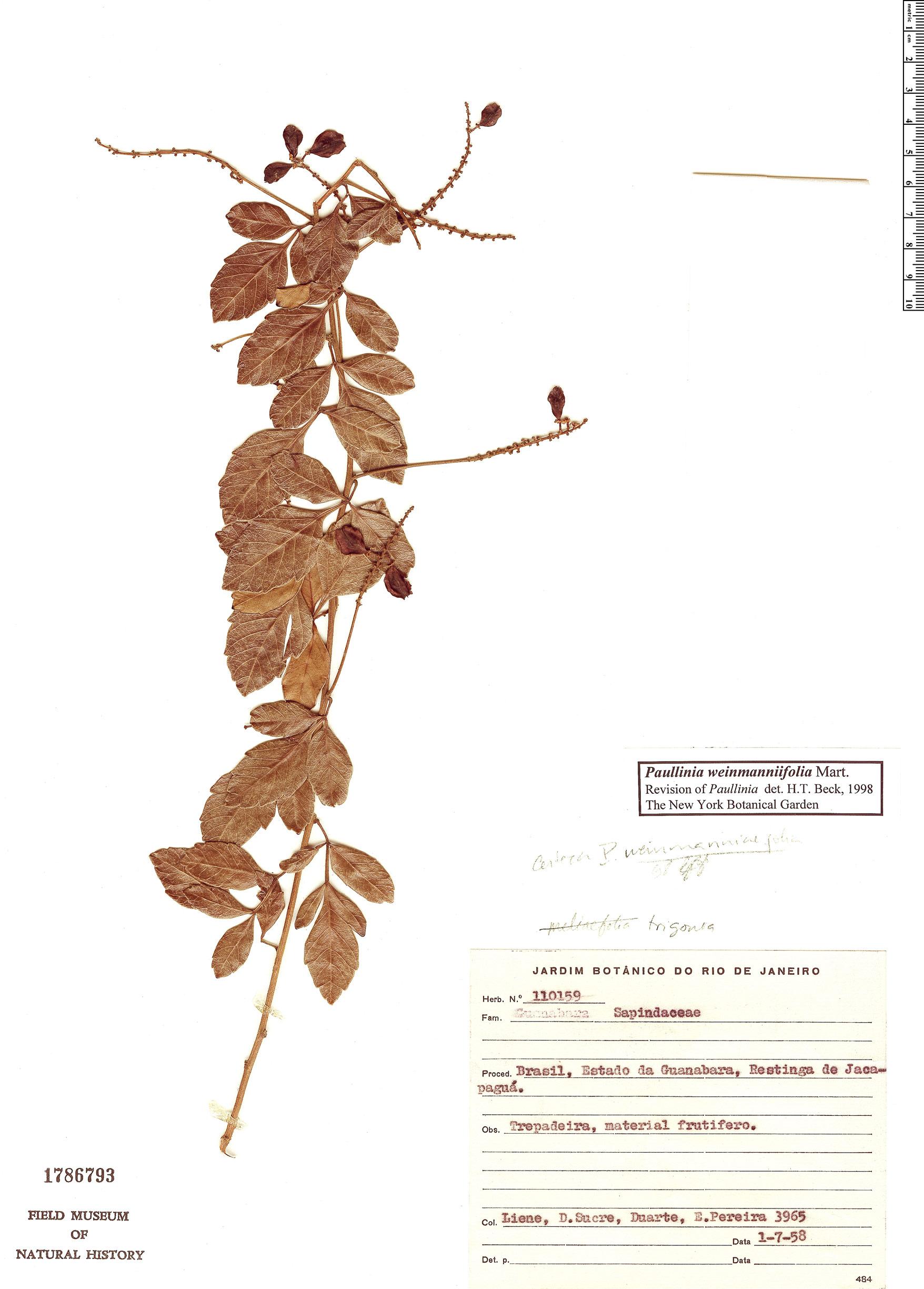 Specimen: Paullinia weinmanniifolia
