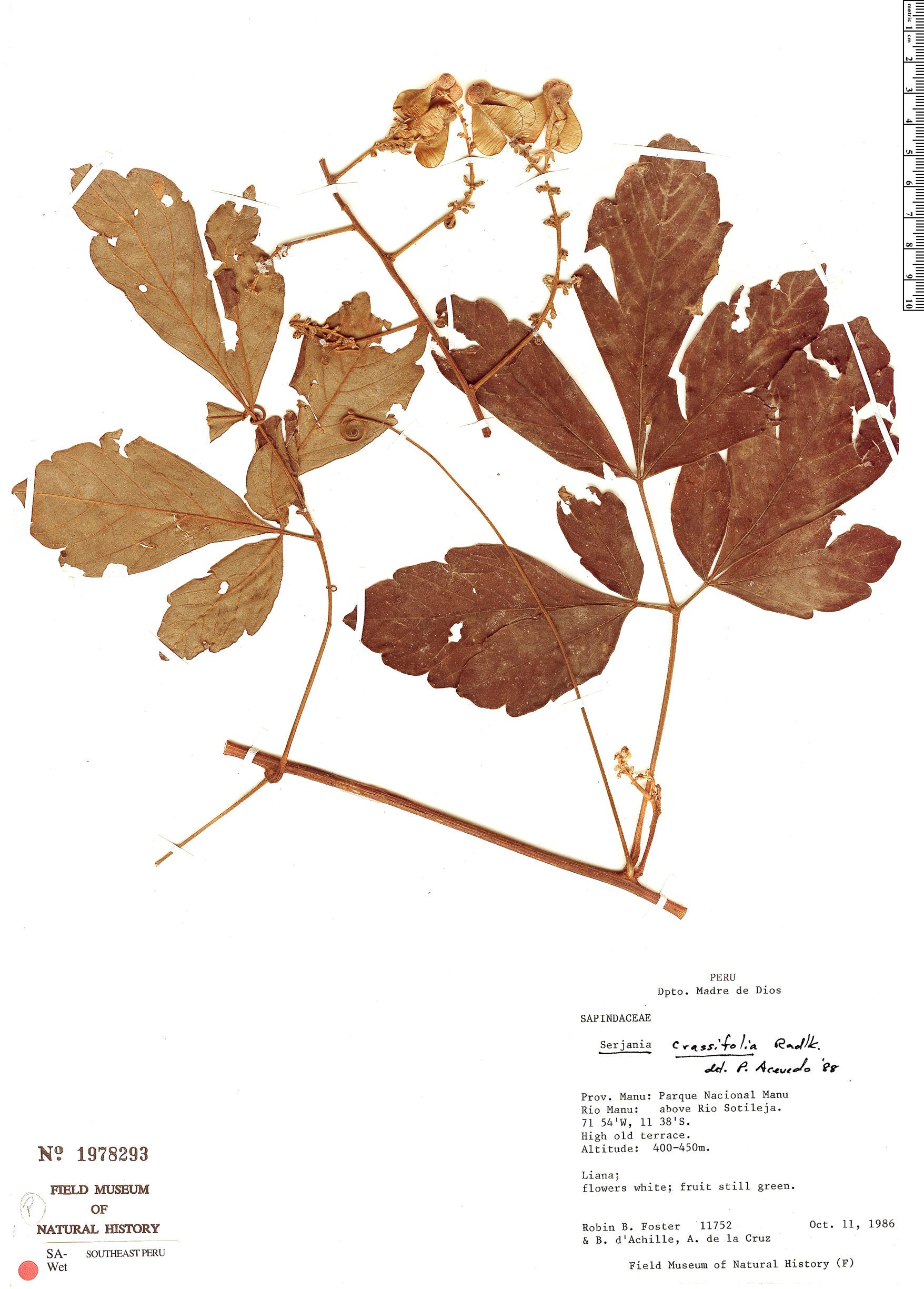 Specimen: Serjania crassifolia