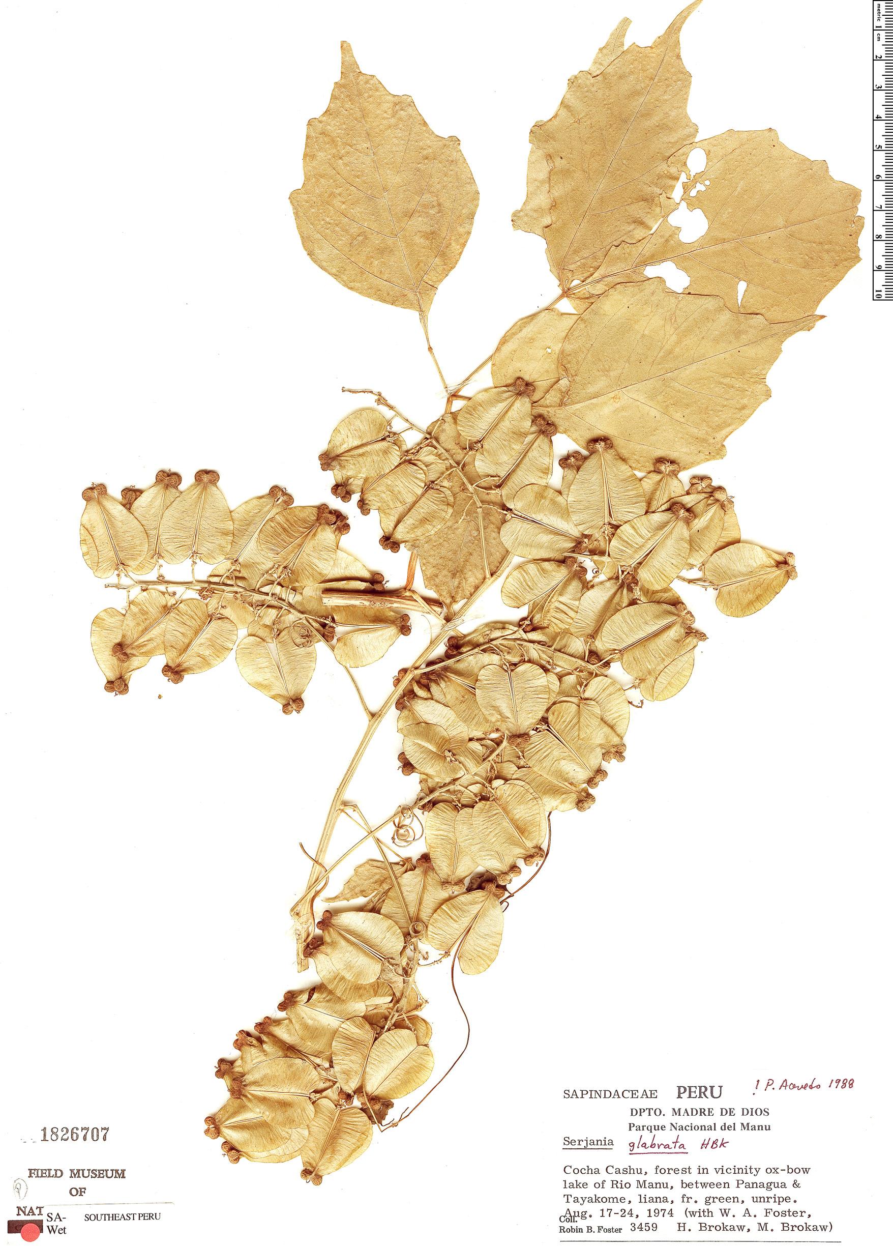 Specimen: Serjania glabrata