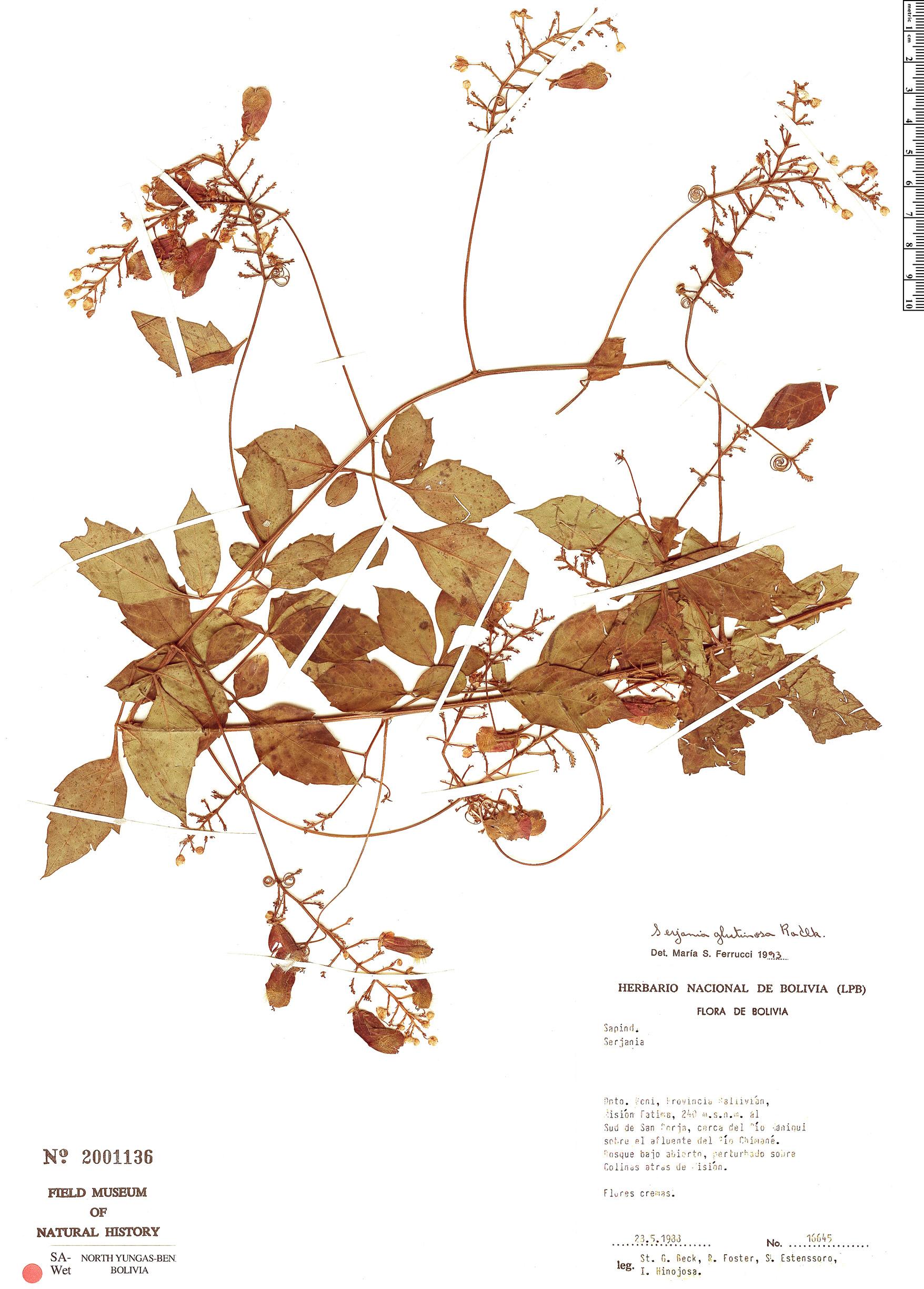 Specimen: Serjania glutinosa