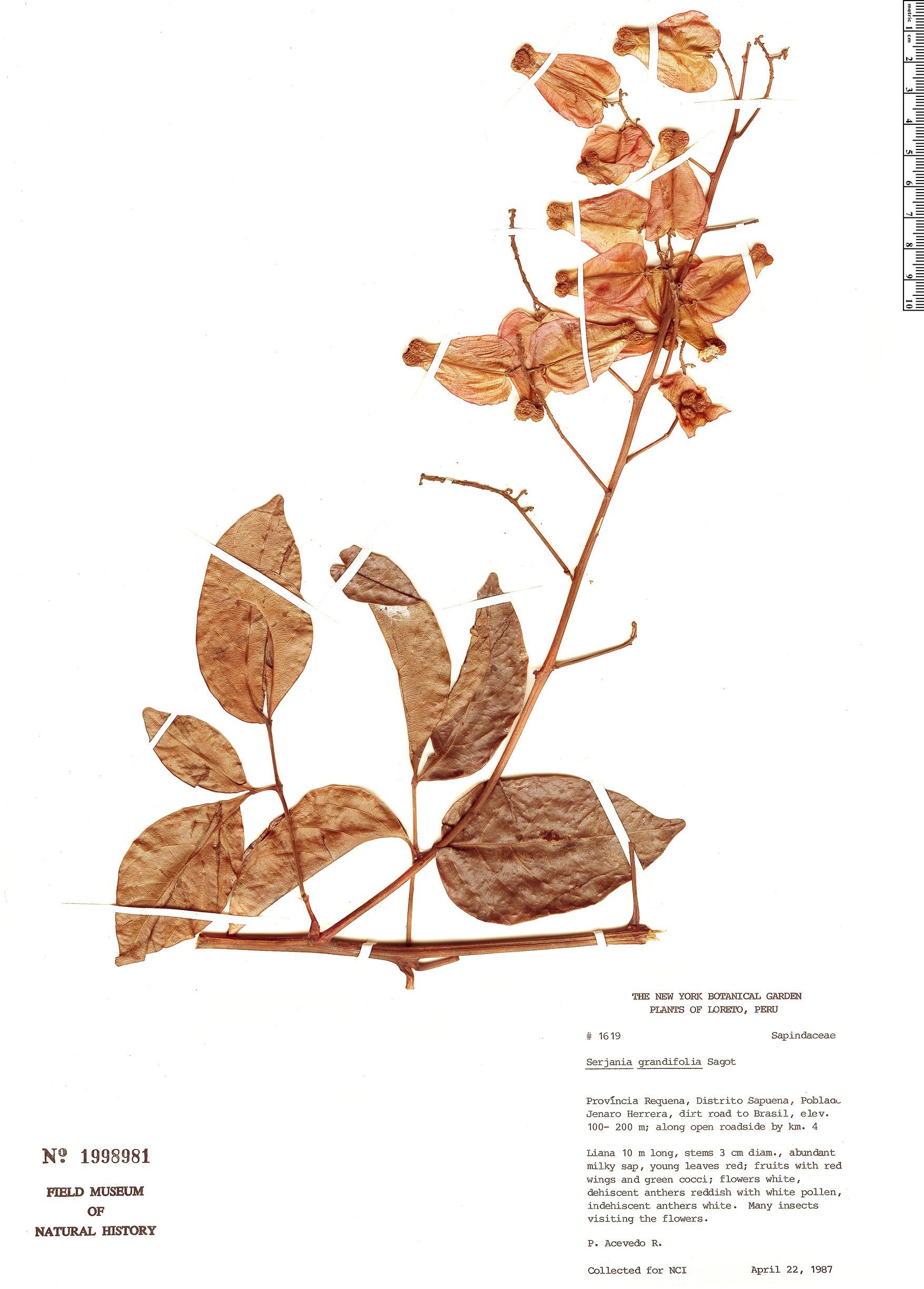 Specimen: Serjania grandifolia