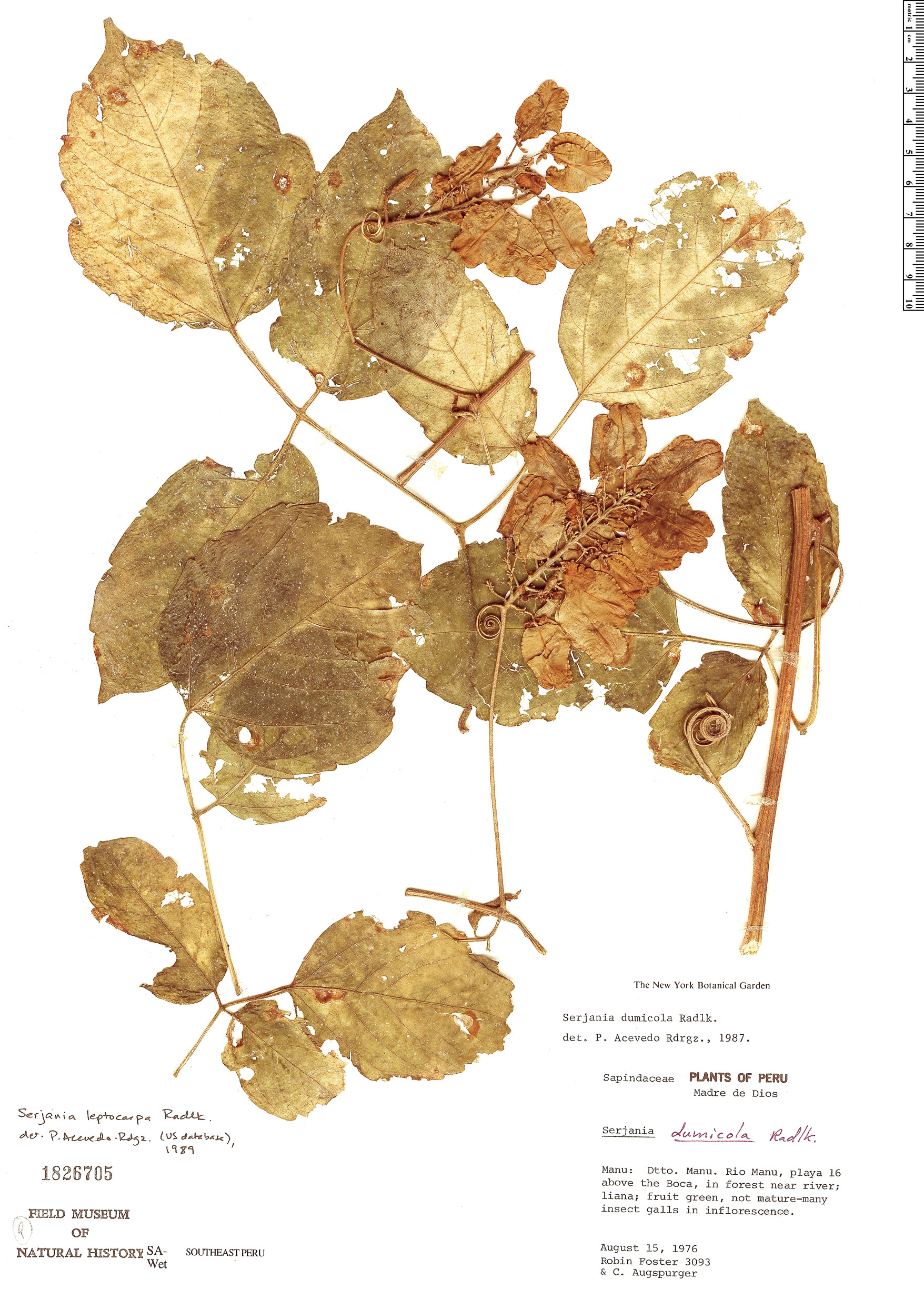 Specimen: Serjania leptocarpa